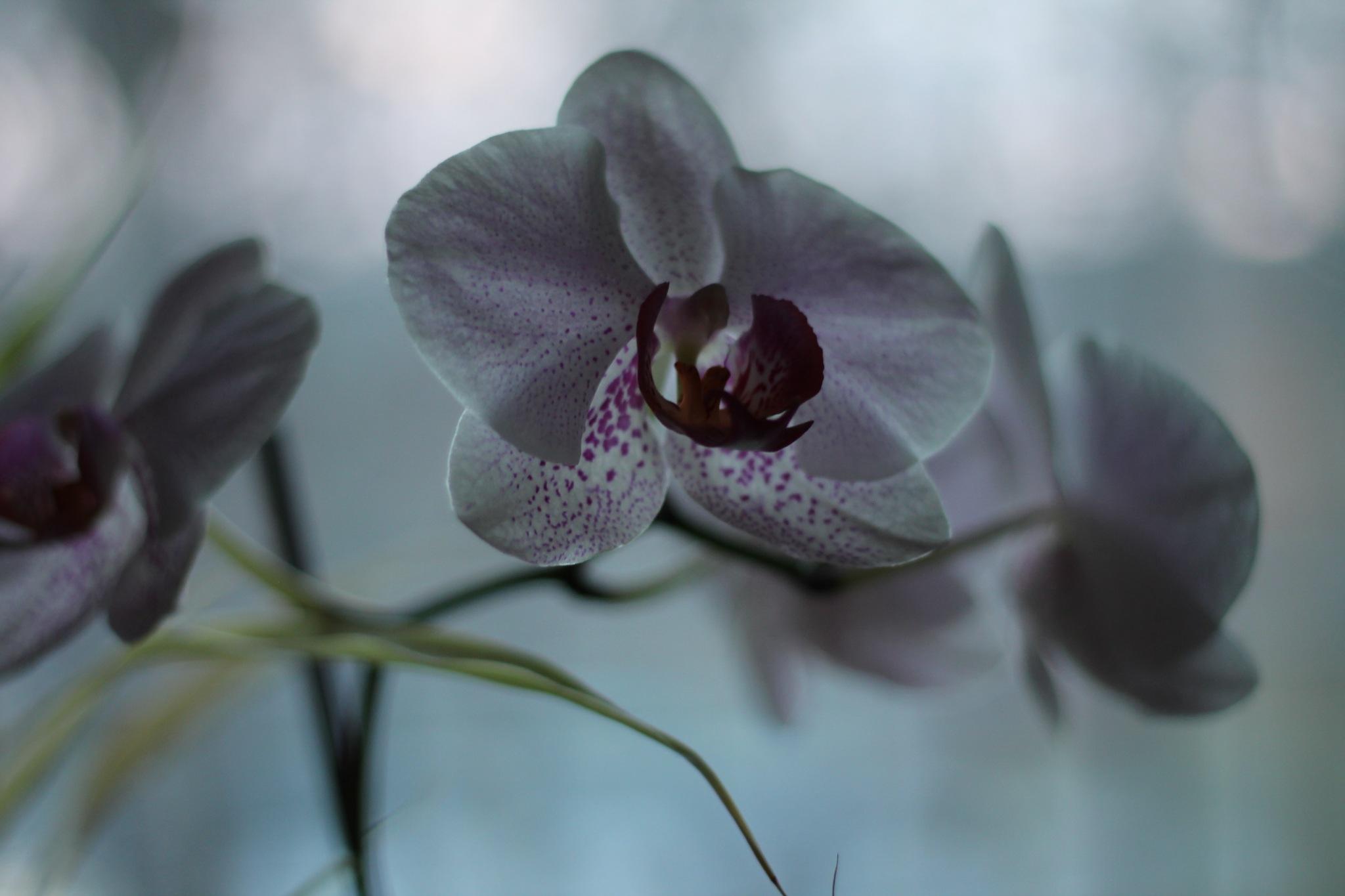 orchidea IV by Gaudreau Sylvain