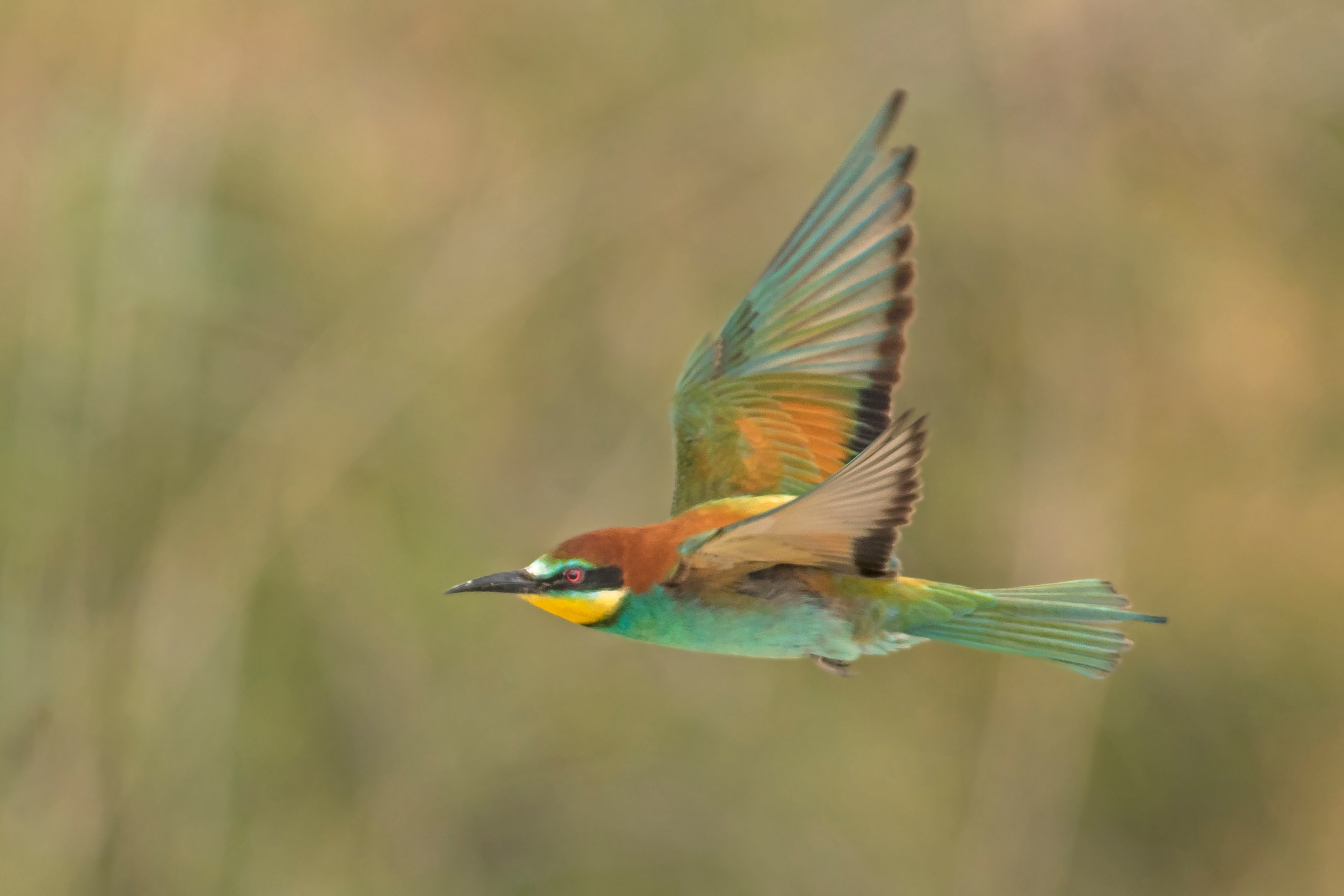 Merops apiaster by ilan