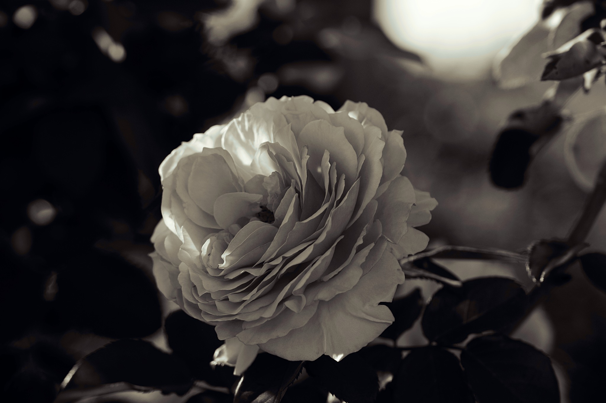 the Rose by Amy Myers