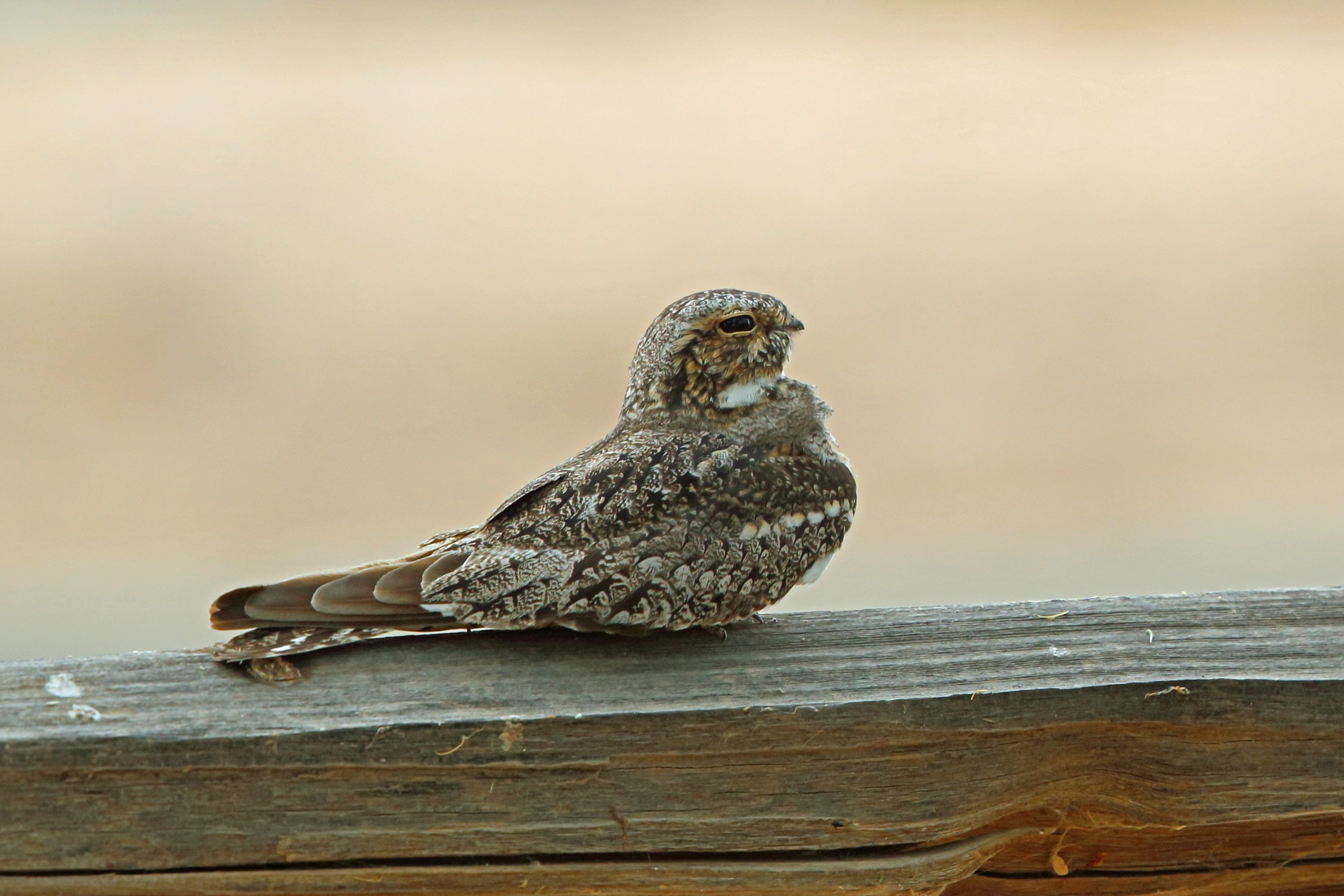 Photo in Animal #lesser nighthawk #bird #animal #nature #wildlife