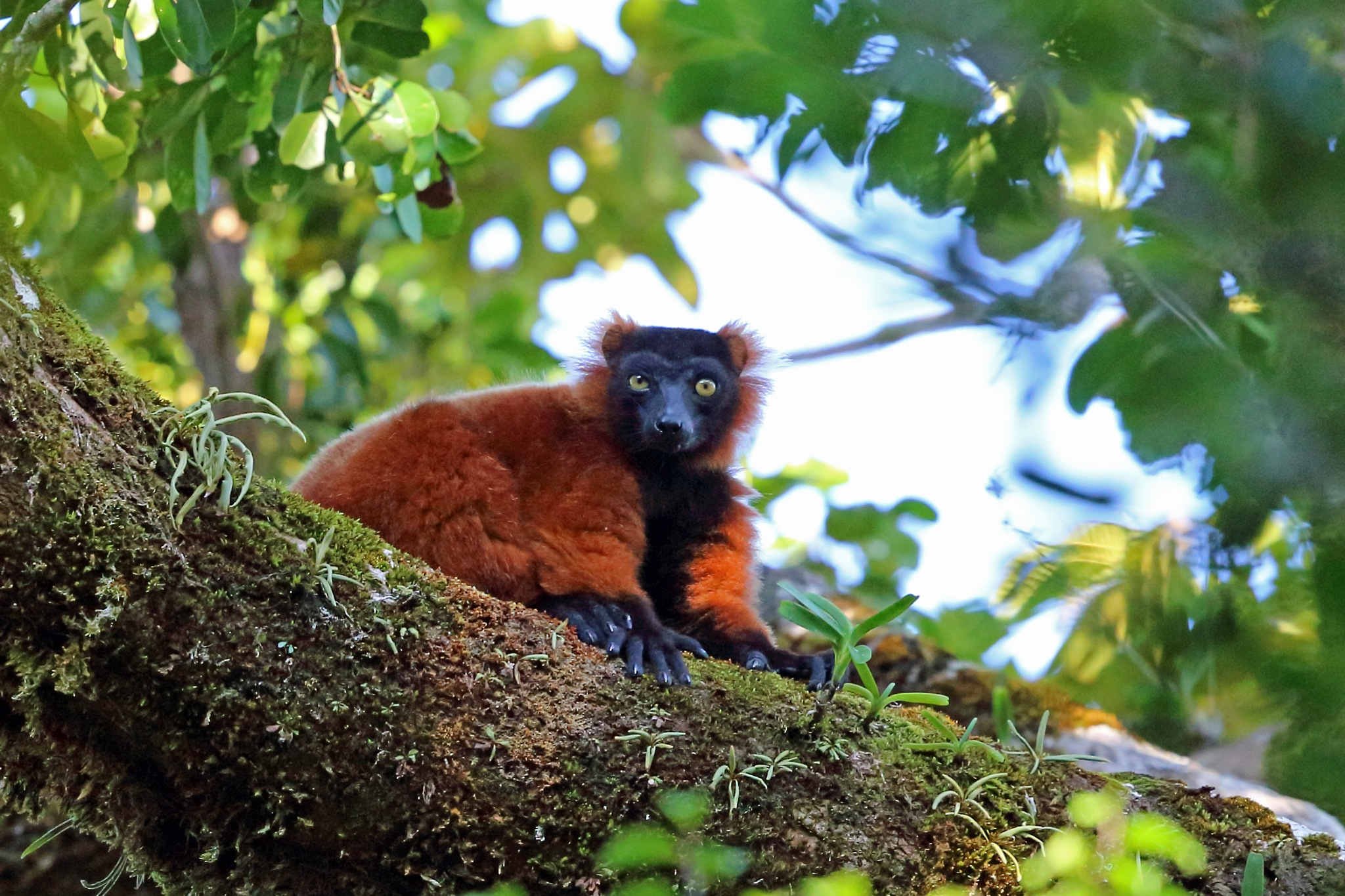 Red Ruffed Lemur by Nigel Voaden