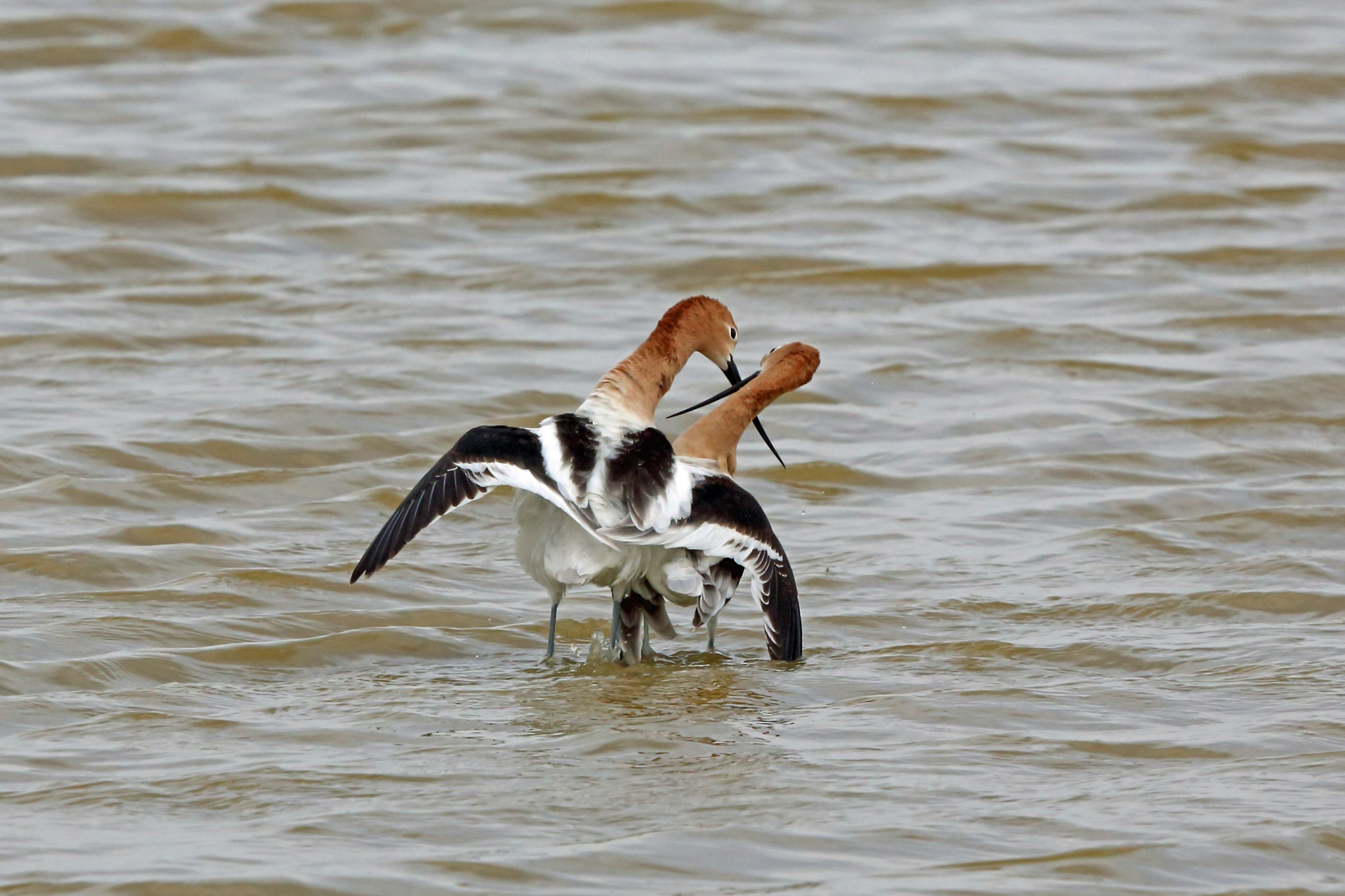 Photo in Animal #american avocet #bird #animal #nature #wildlife