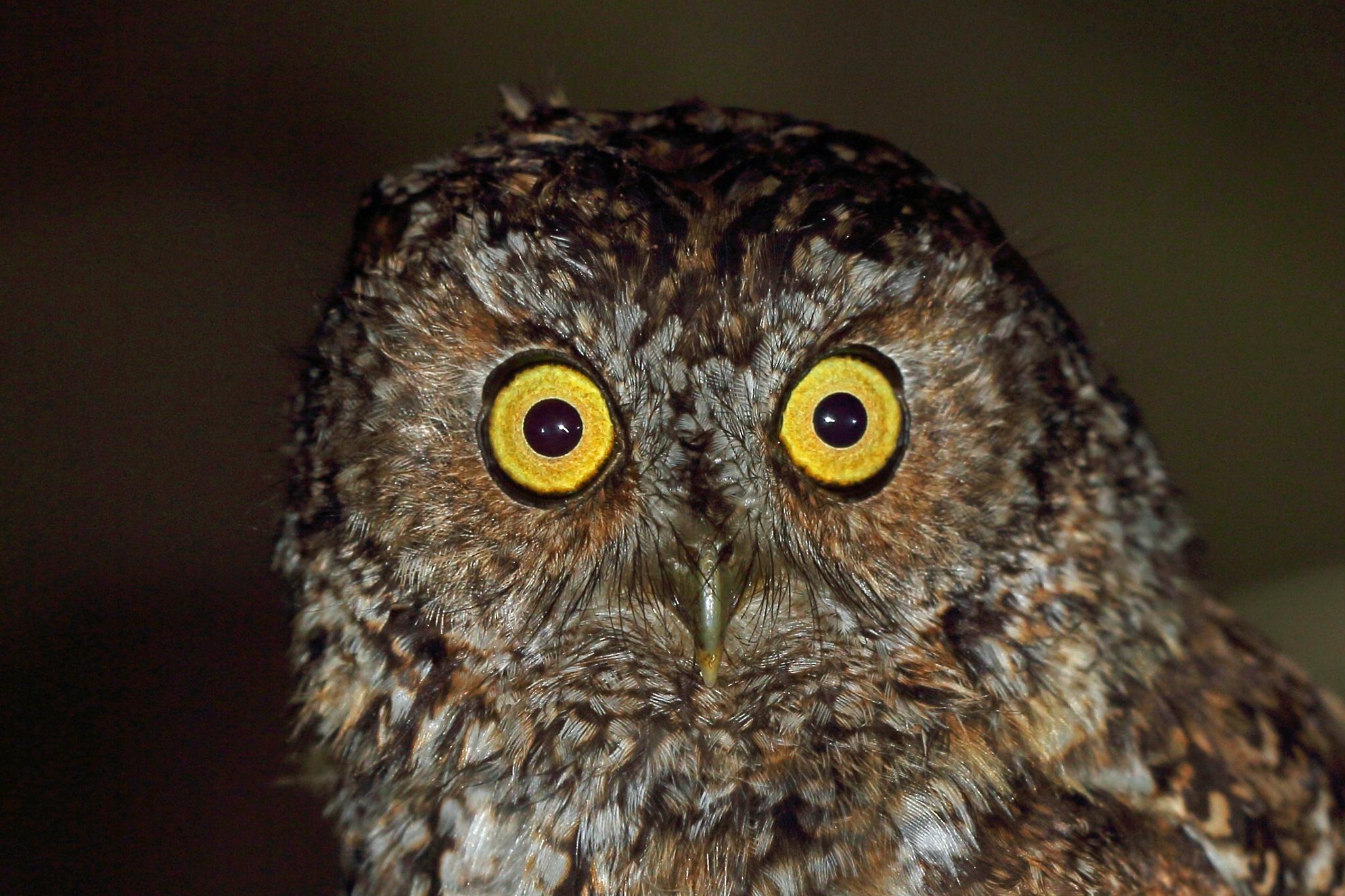 Bearded Screech-Owl by Nigel Voaden
