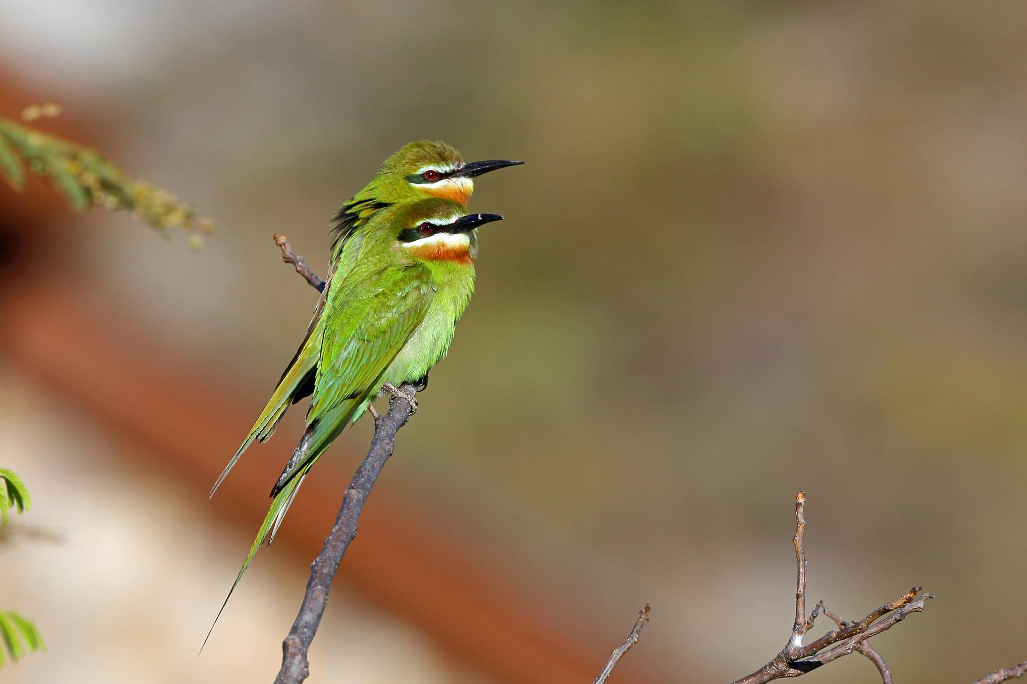Madagascar Bee-eater by Nigel Voaden