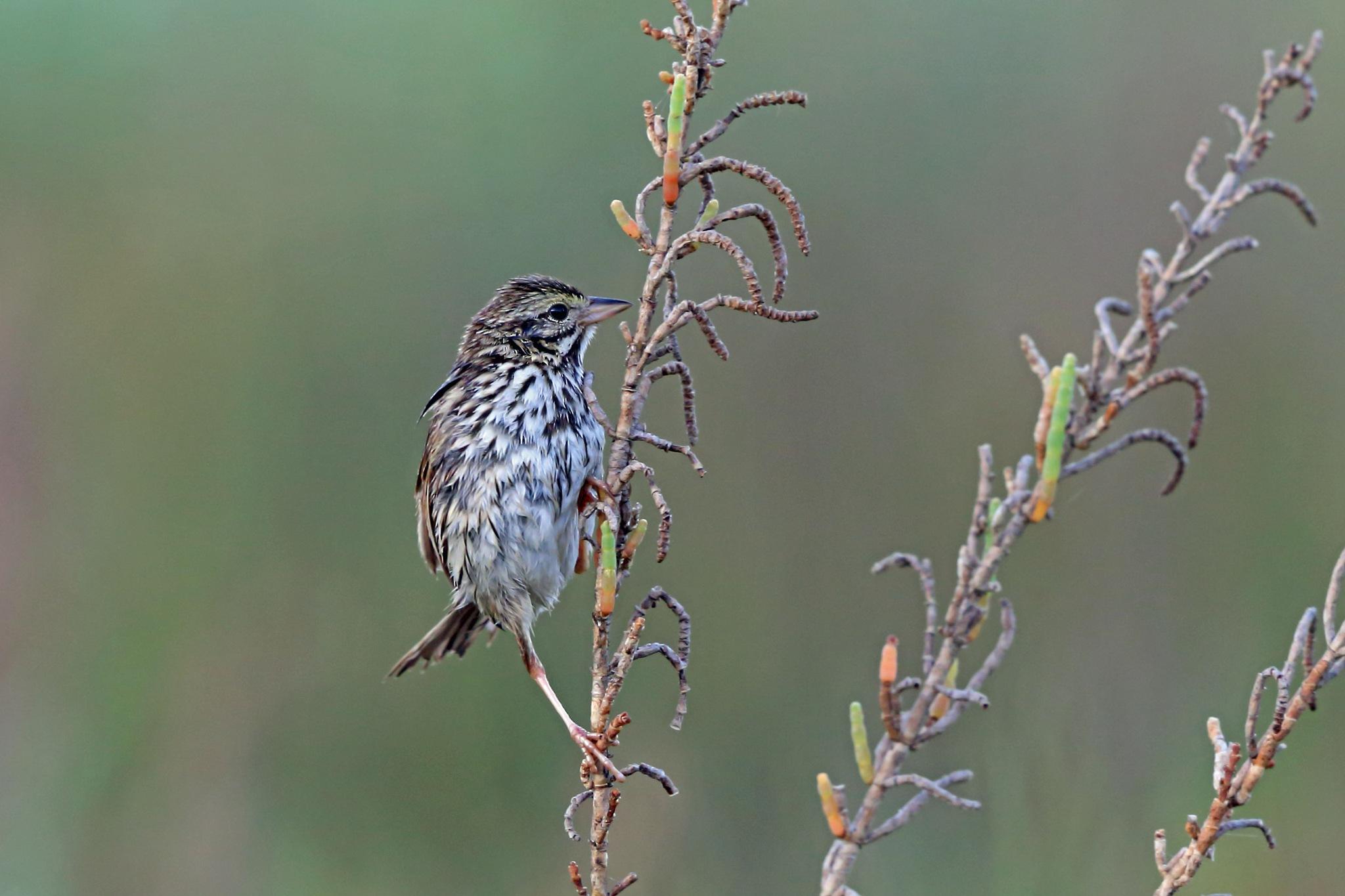 Belding's Sparrow by Nigel Voaden