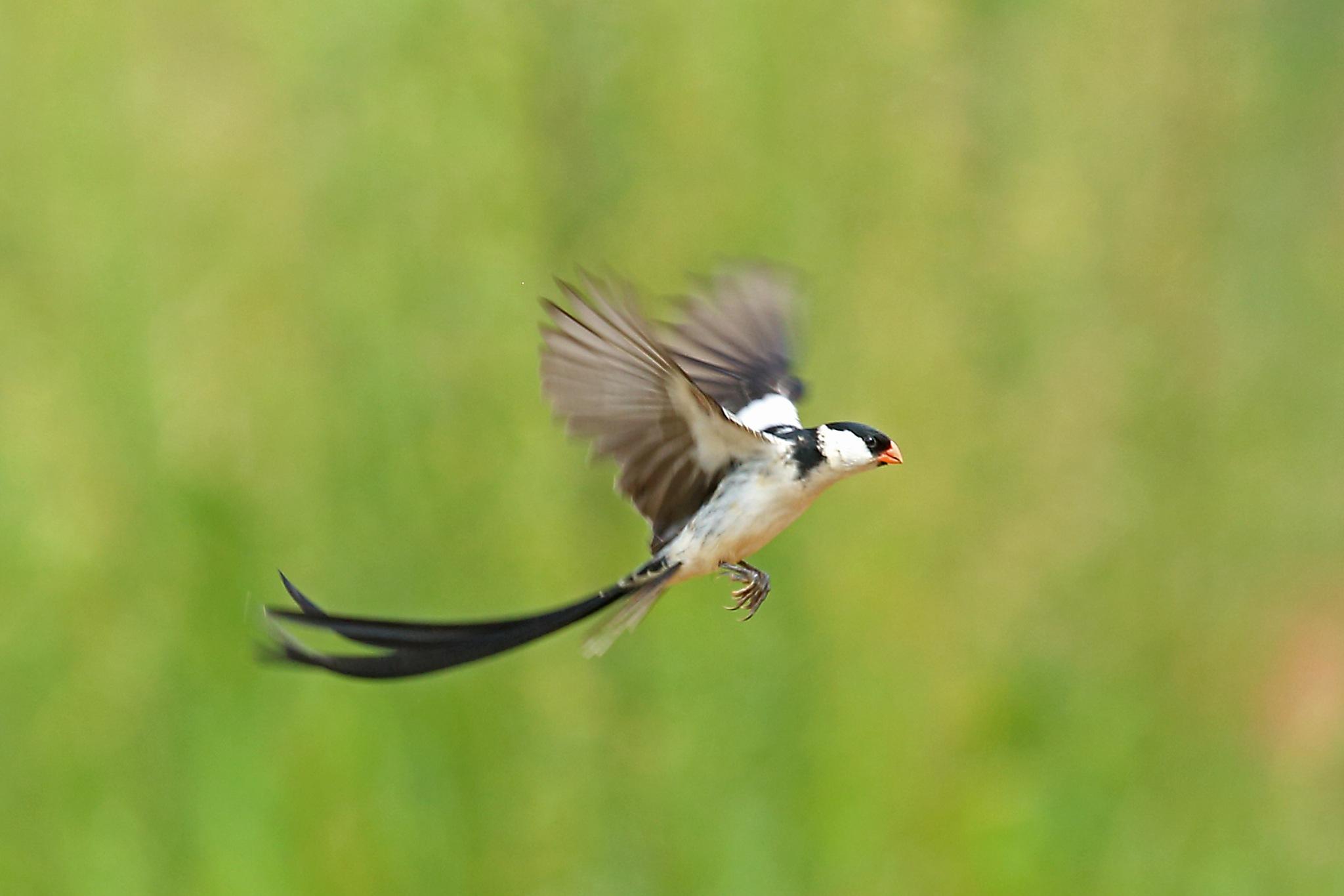Pin-tailed Widowbird by Nigel Voaden