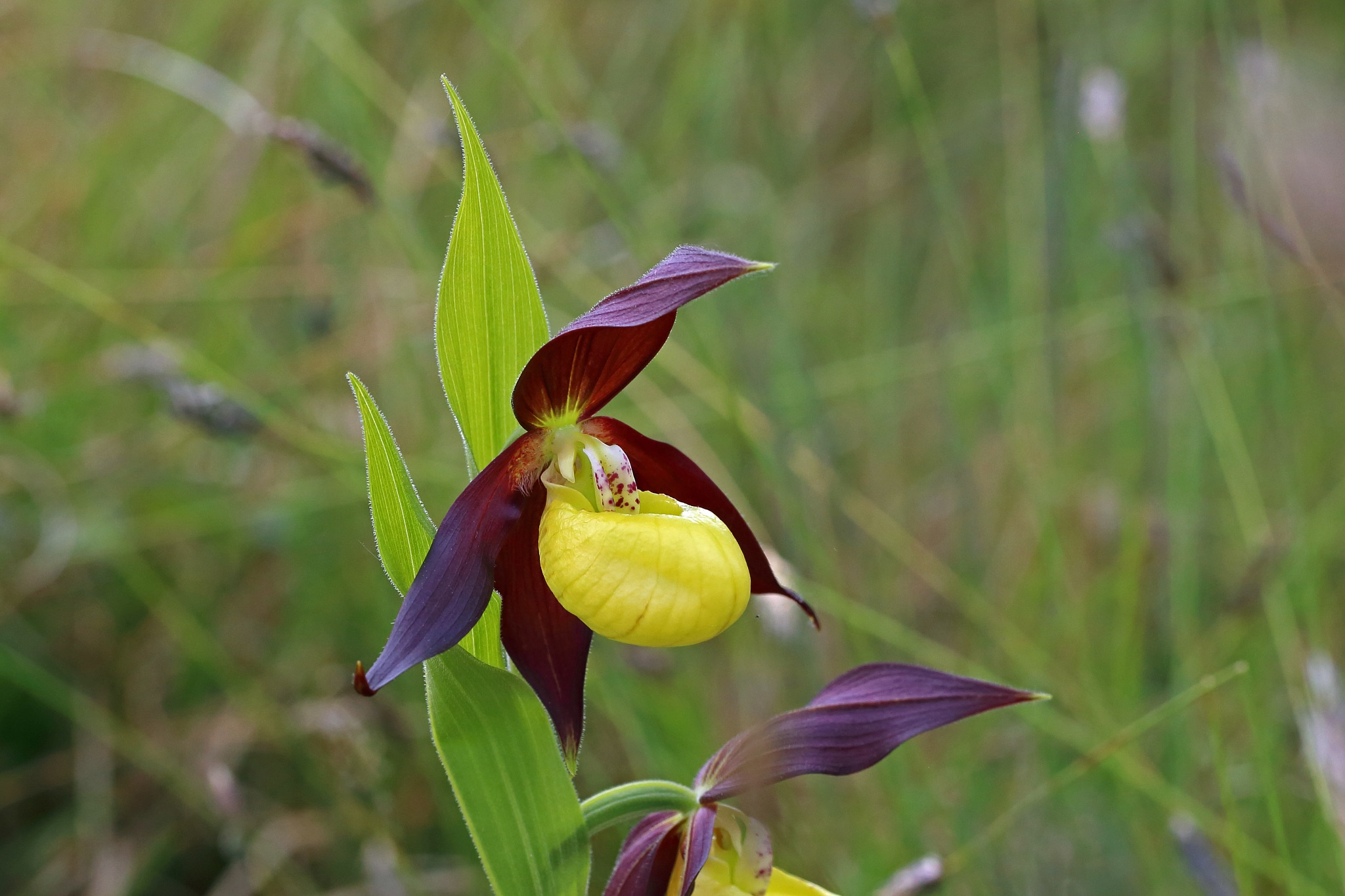 Lady's Slipper Orchid by Nigel Voaden
