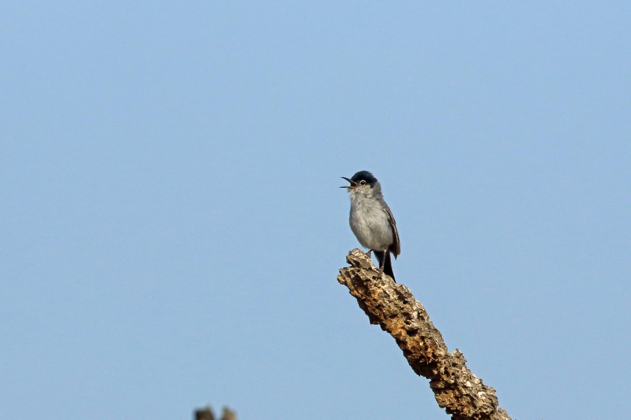 Photo in Animal #black-tailed gnatcatcher #bird #animal #nature #wildlife