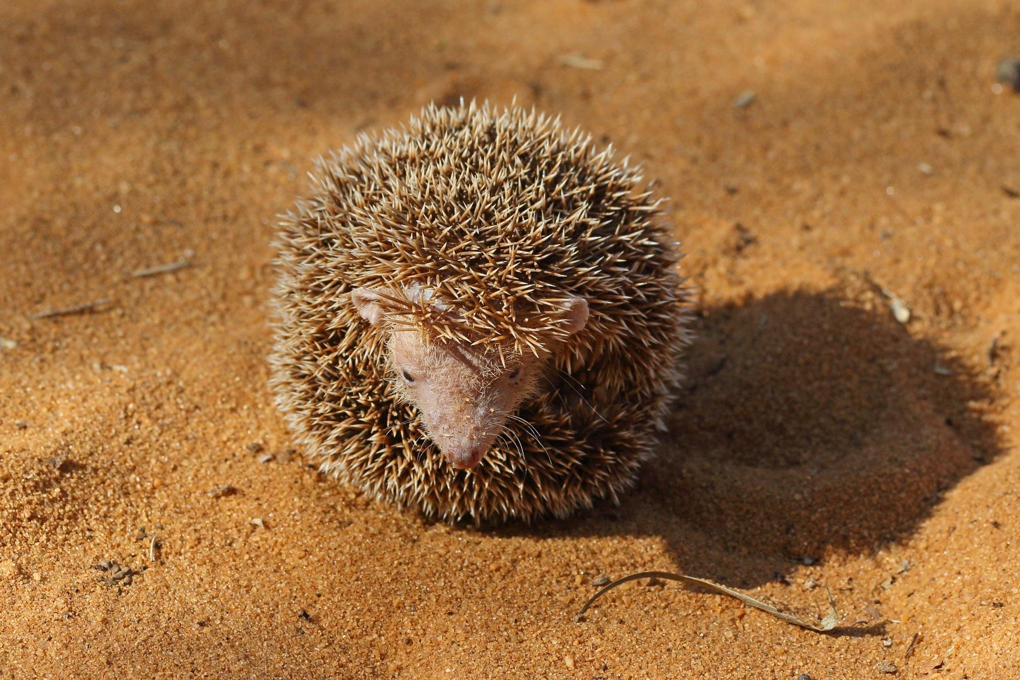 Lesser Hedgehog Tenrec by Nigel Voaden