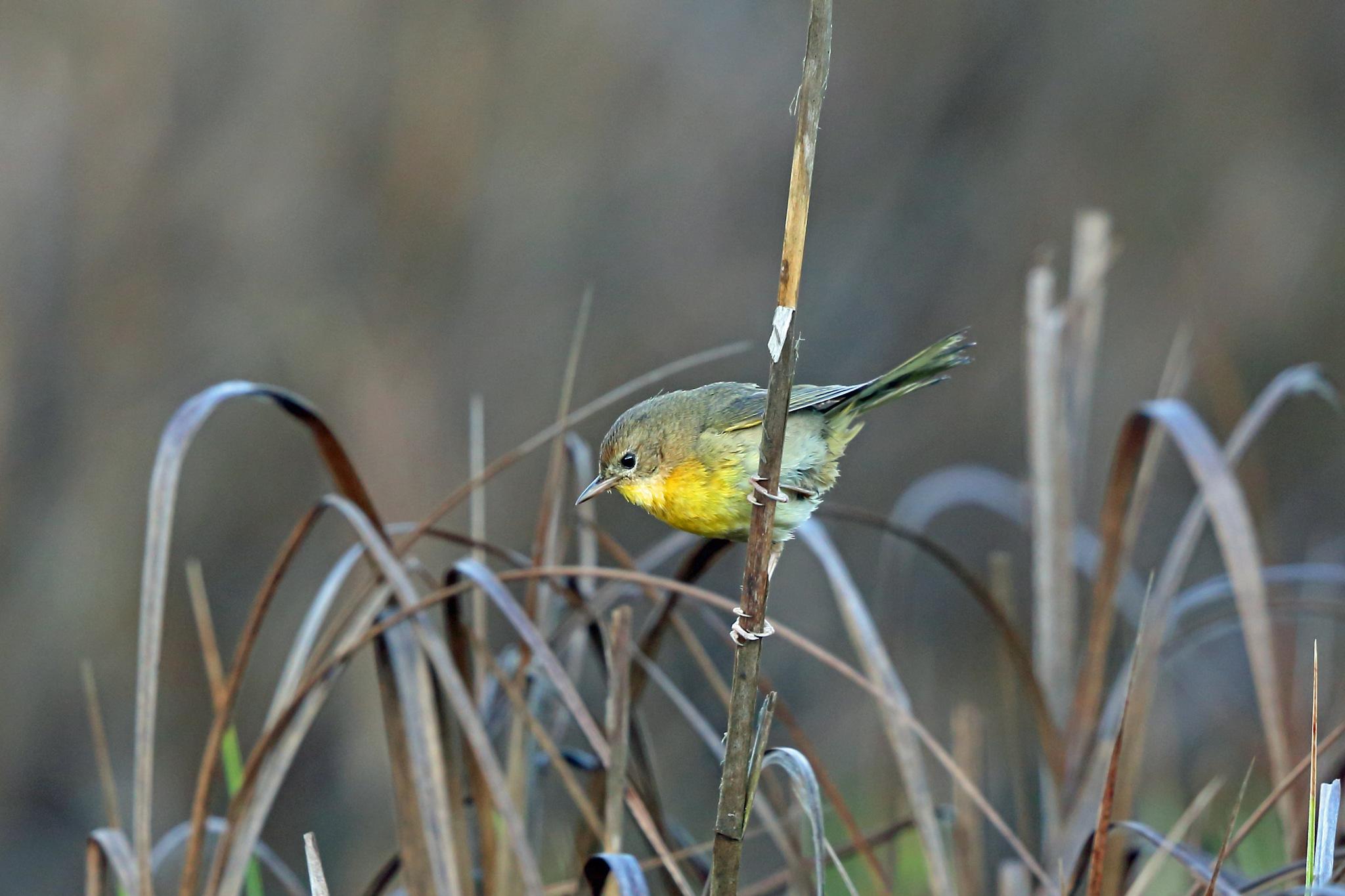 Common Yellowthroat by Nigel Voaden