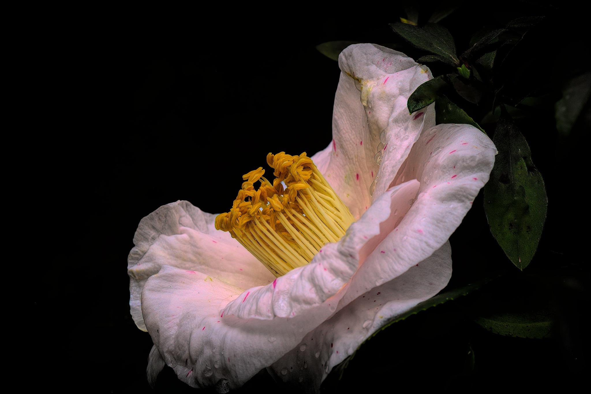 Camellia. by Ron Metz
