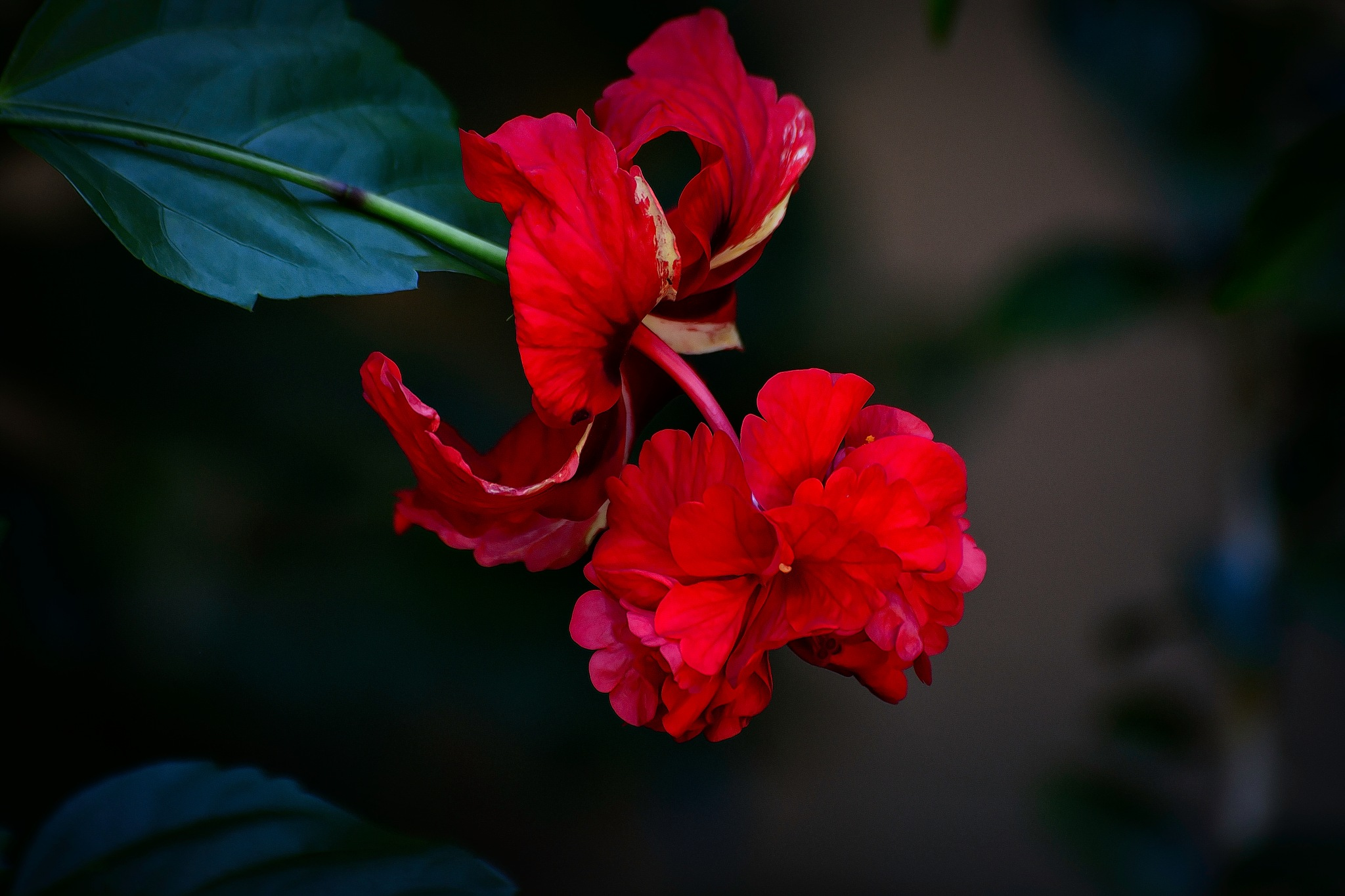 Hibiscus. by Ron Metz
