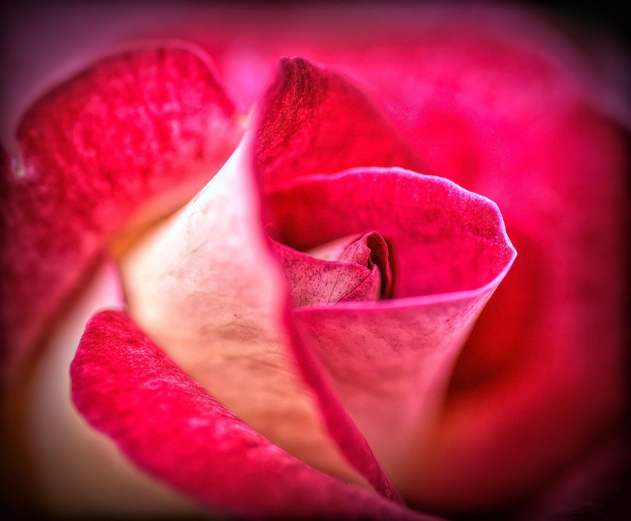 Rose. by Ron Metz
