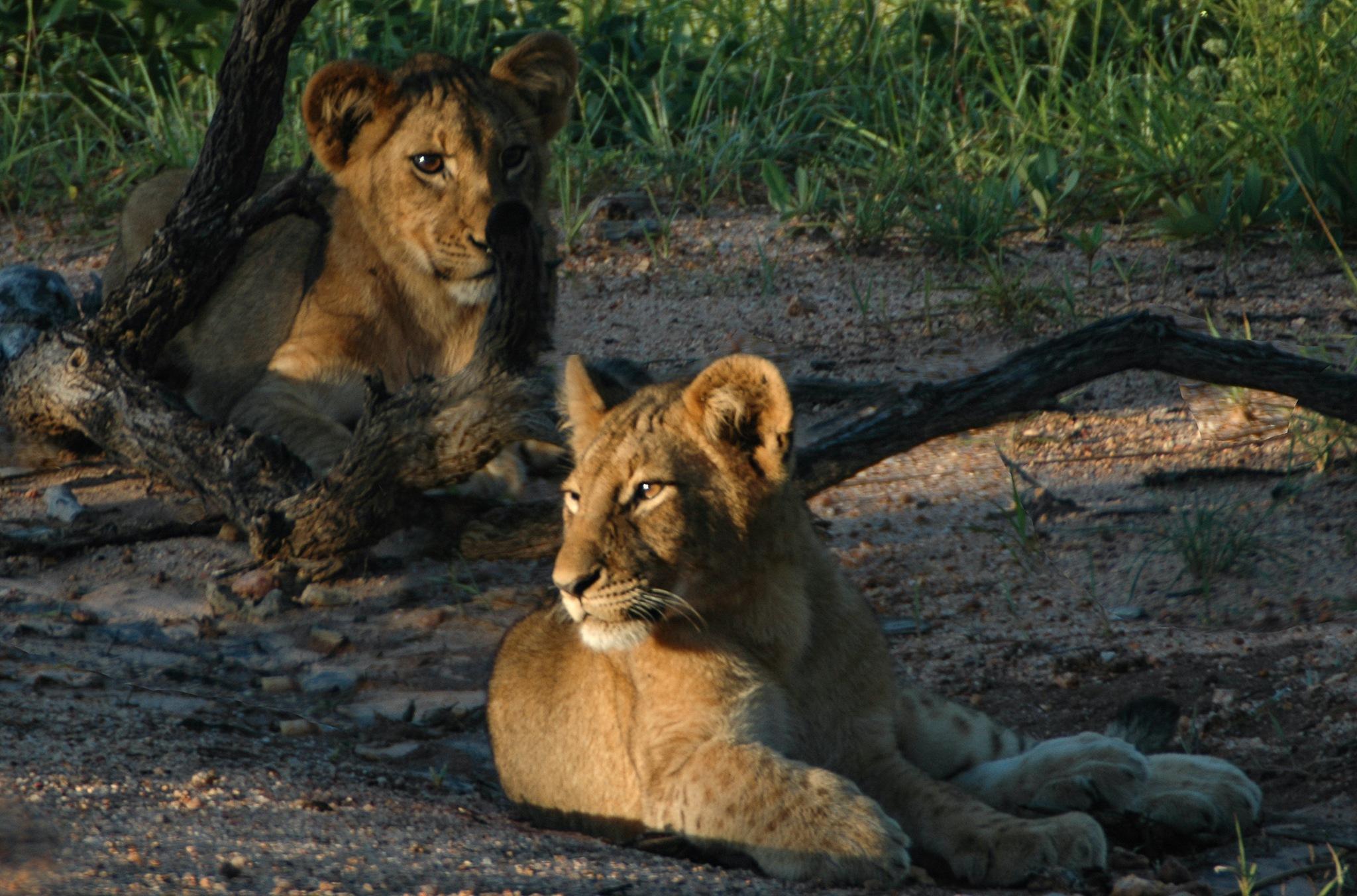 Lion cubs by Kurt Sørensen