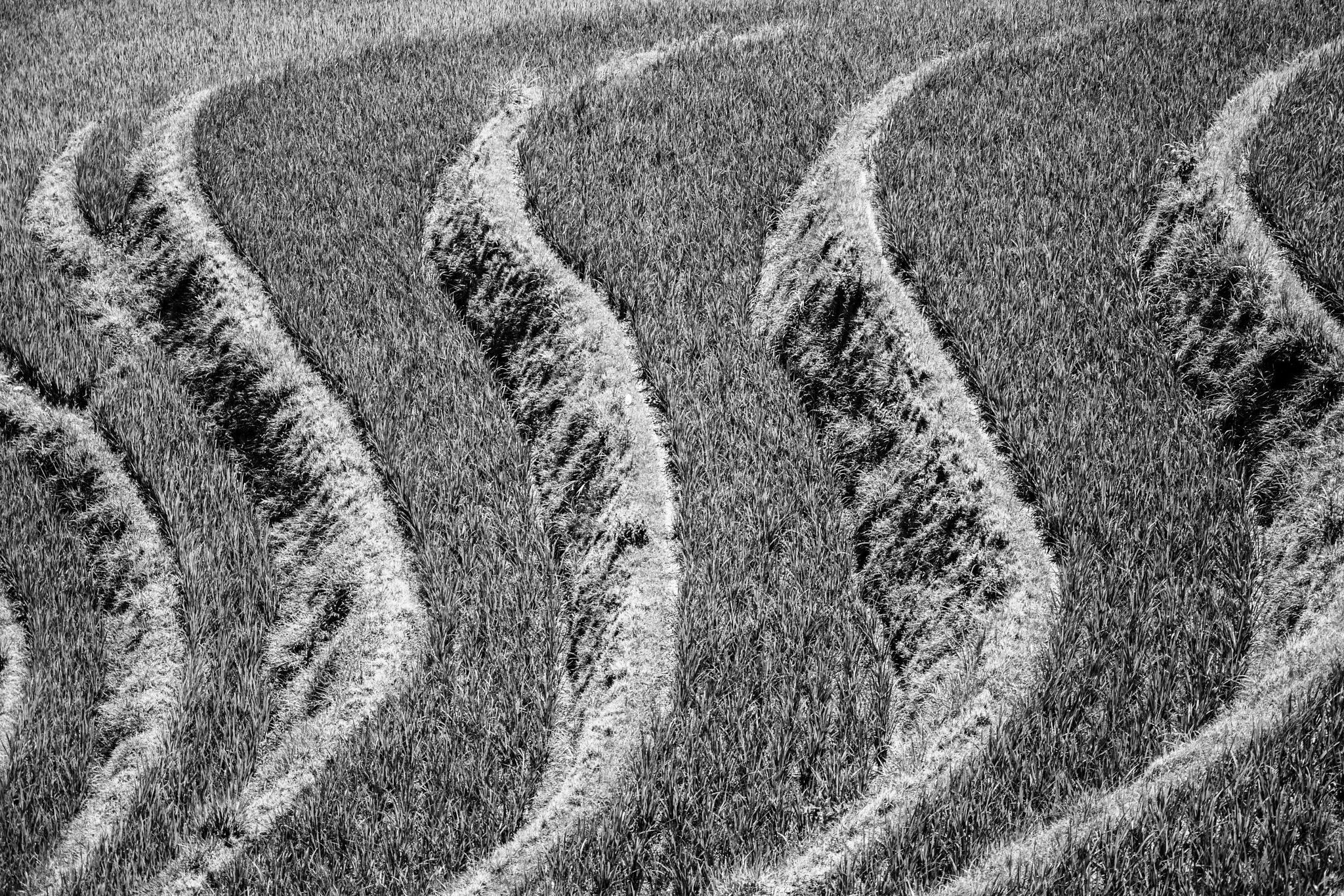 Rice Terraces B&W by Benjamin G.