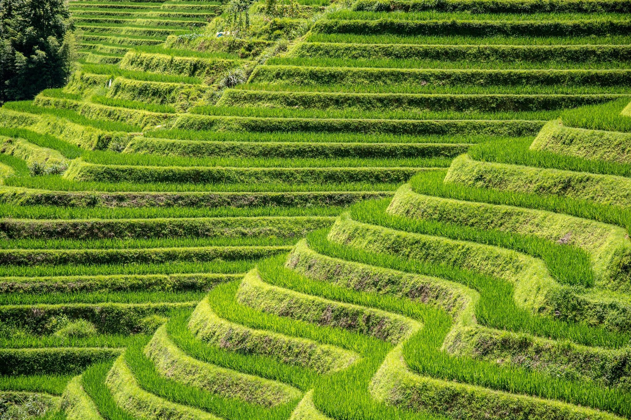 Rice terraces by Benjamin G.