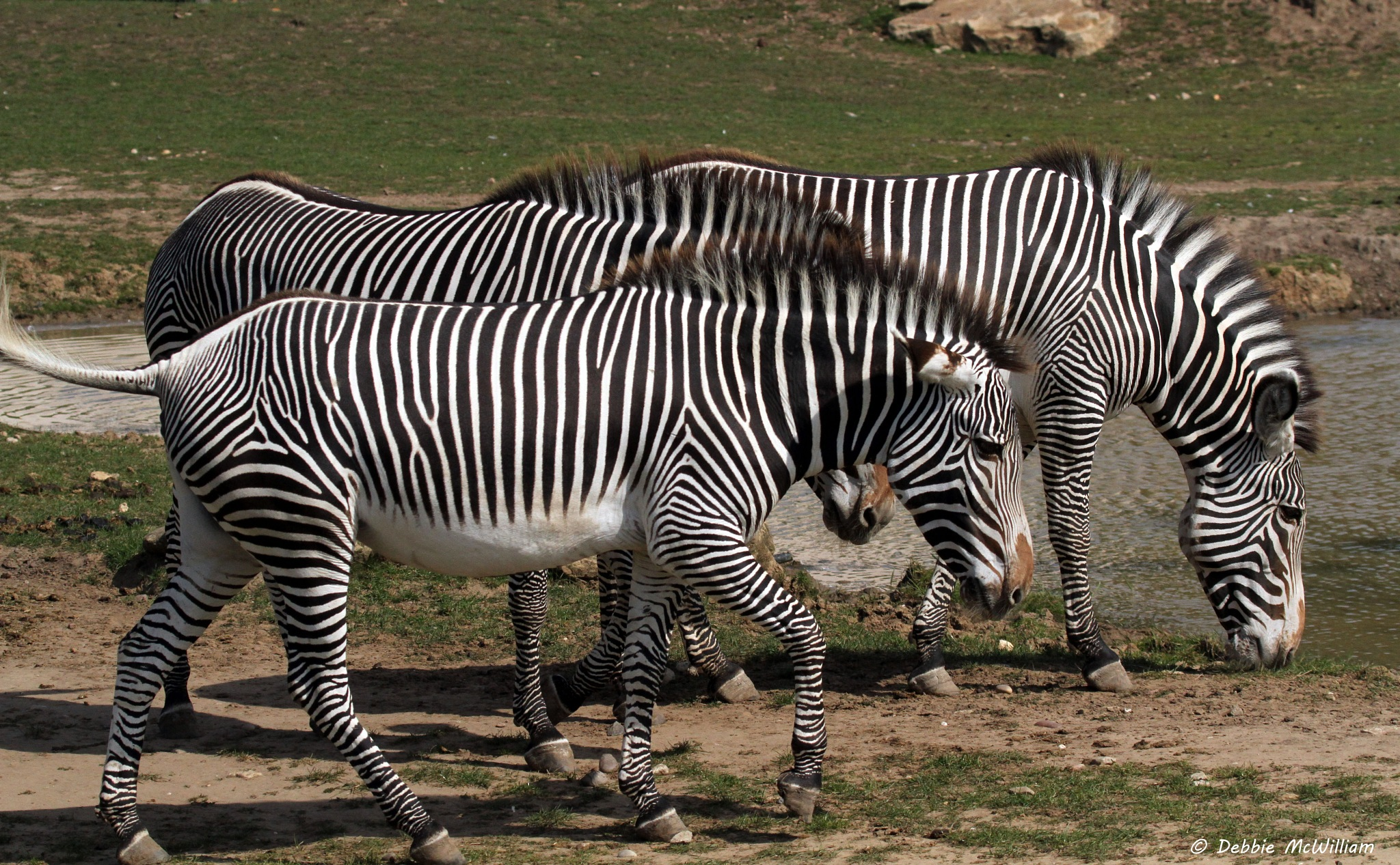 Female Grevys Zebra by Debbie McWilliam