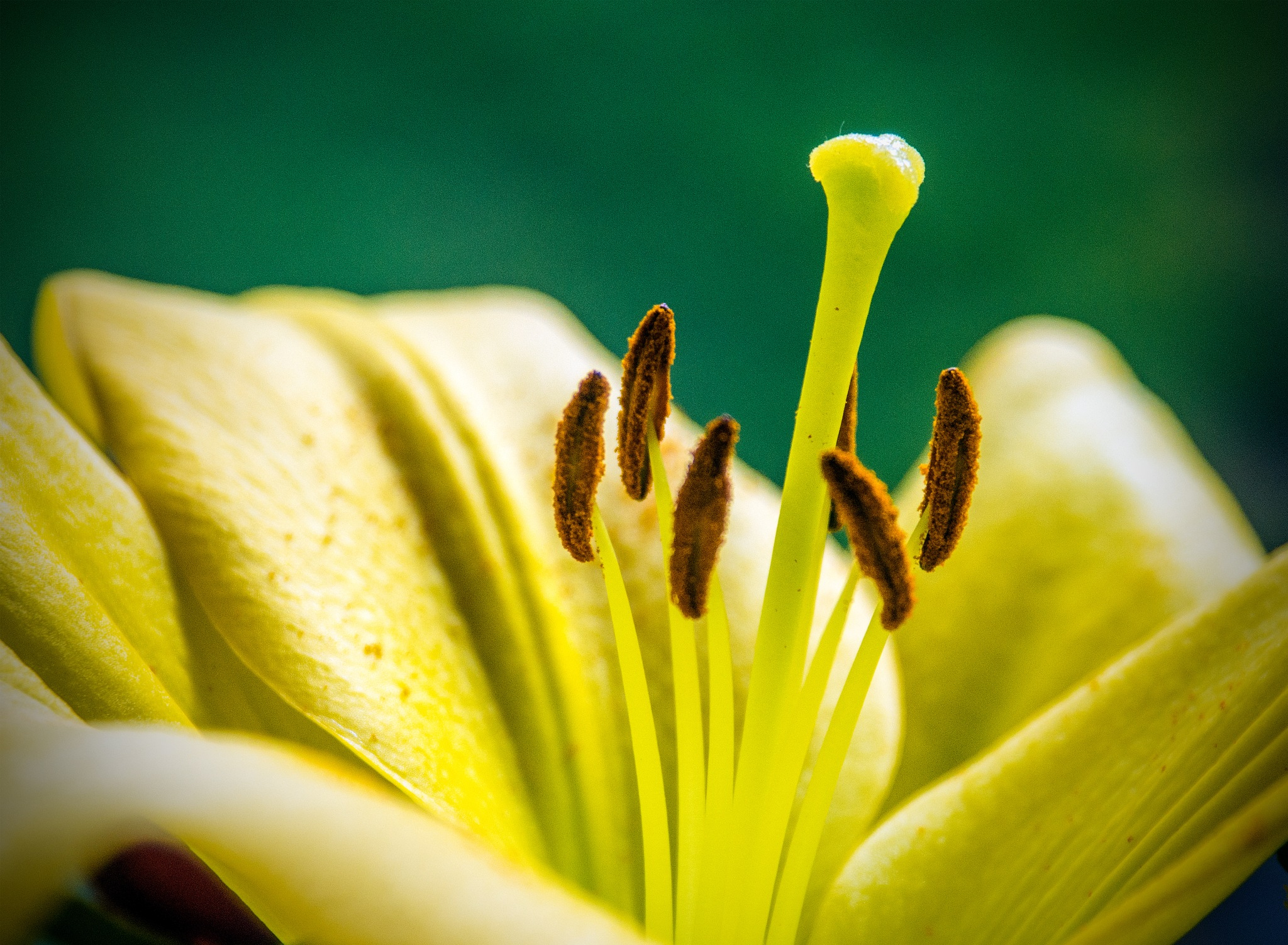 Lily by Peter Jarvis