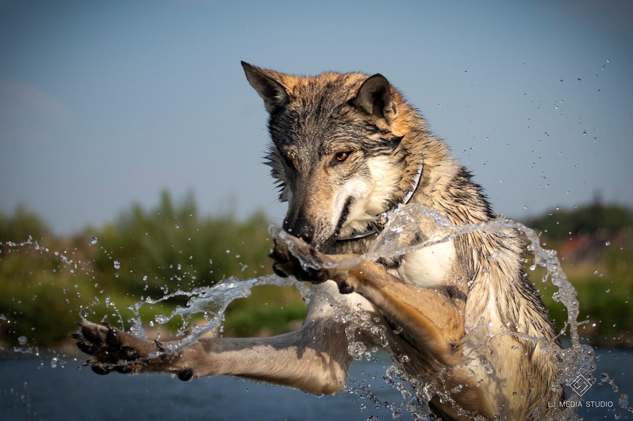 Czechoslovakian wolfdog by LJ Media Studio
