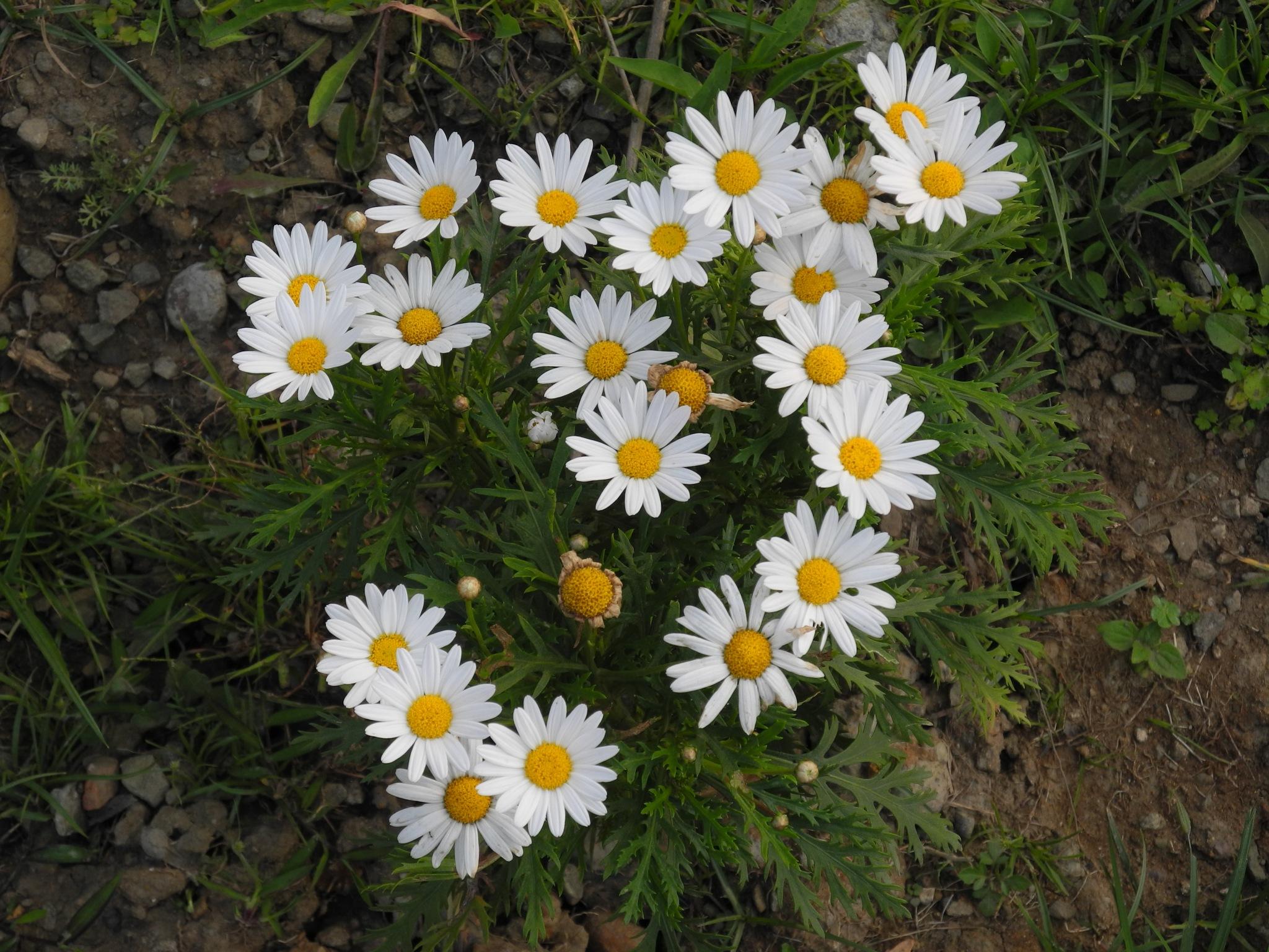 Edelweiss by kkhann60
