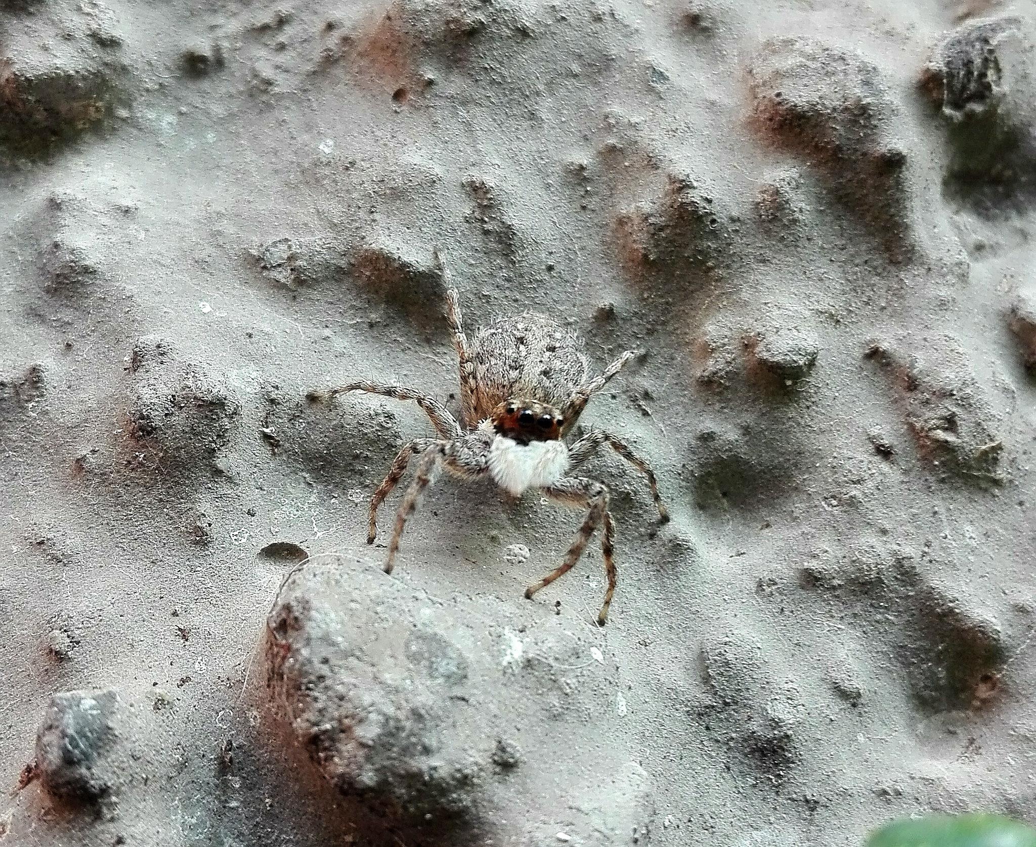 mimetic jump spider by  Gaelle Le Meur