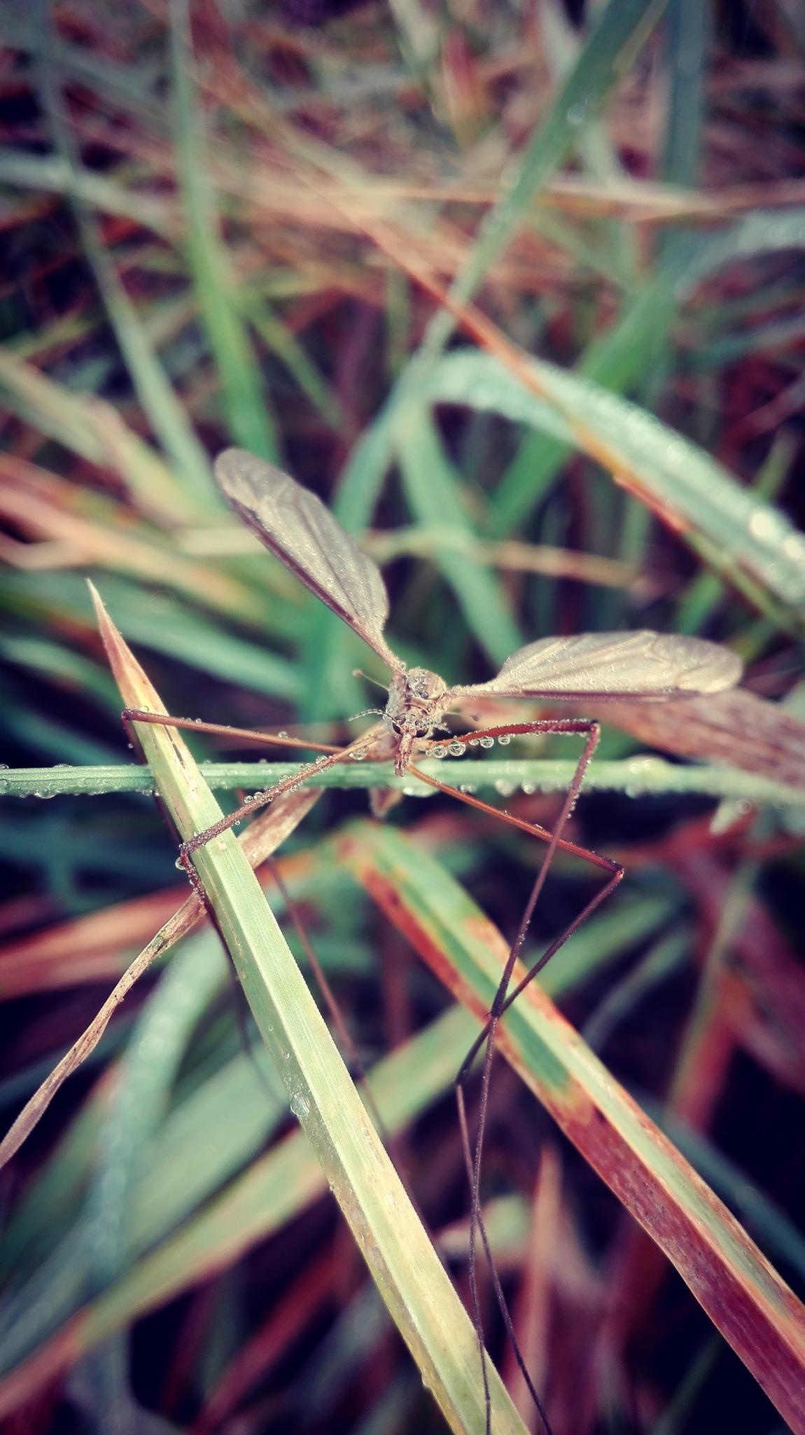 Tipulidae   by  Gaelle Le Meur