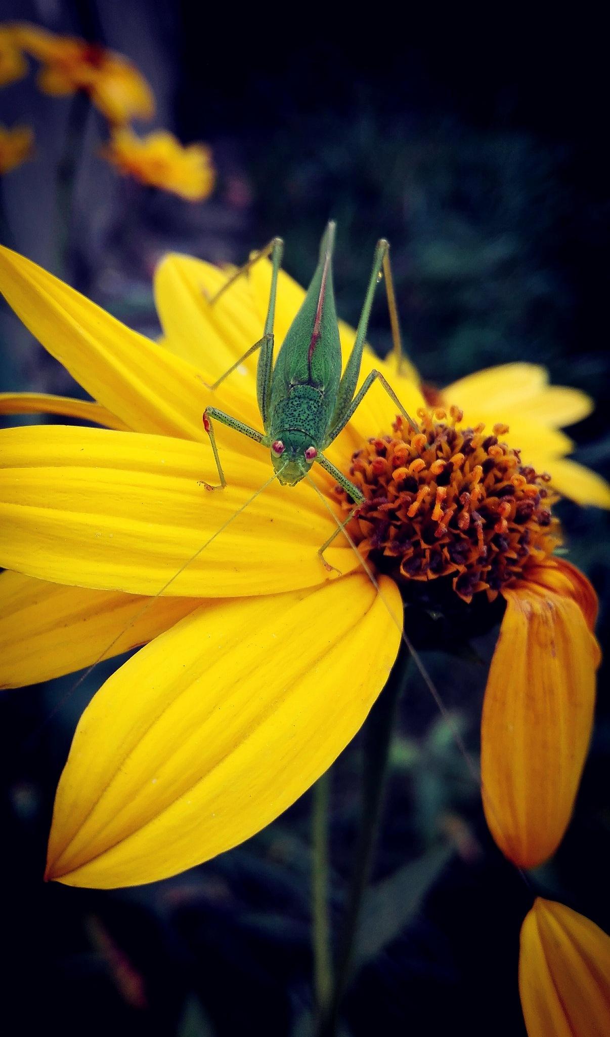 green grasshopper on helianthus tuberosus by  Gaelle Le Meur