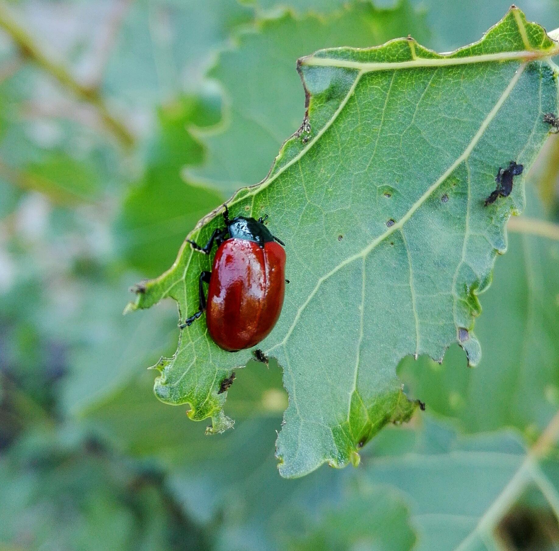 willow leaf beetle by  Gaelle Le Meur
