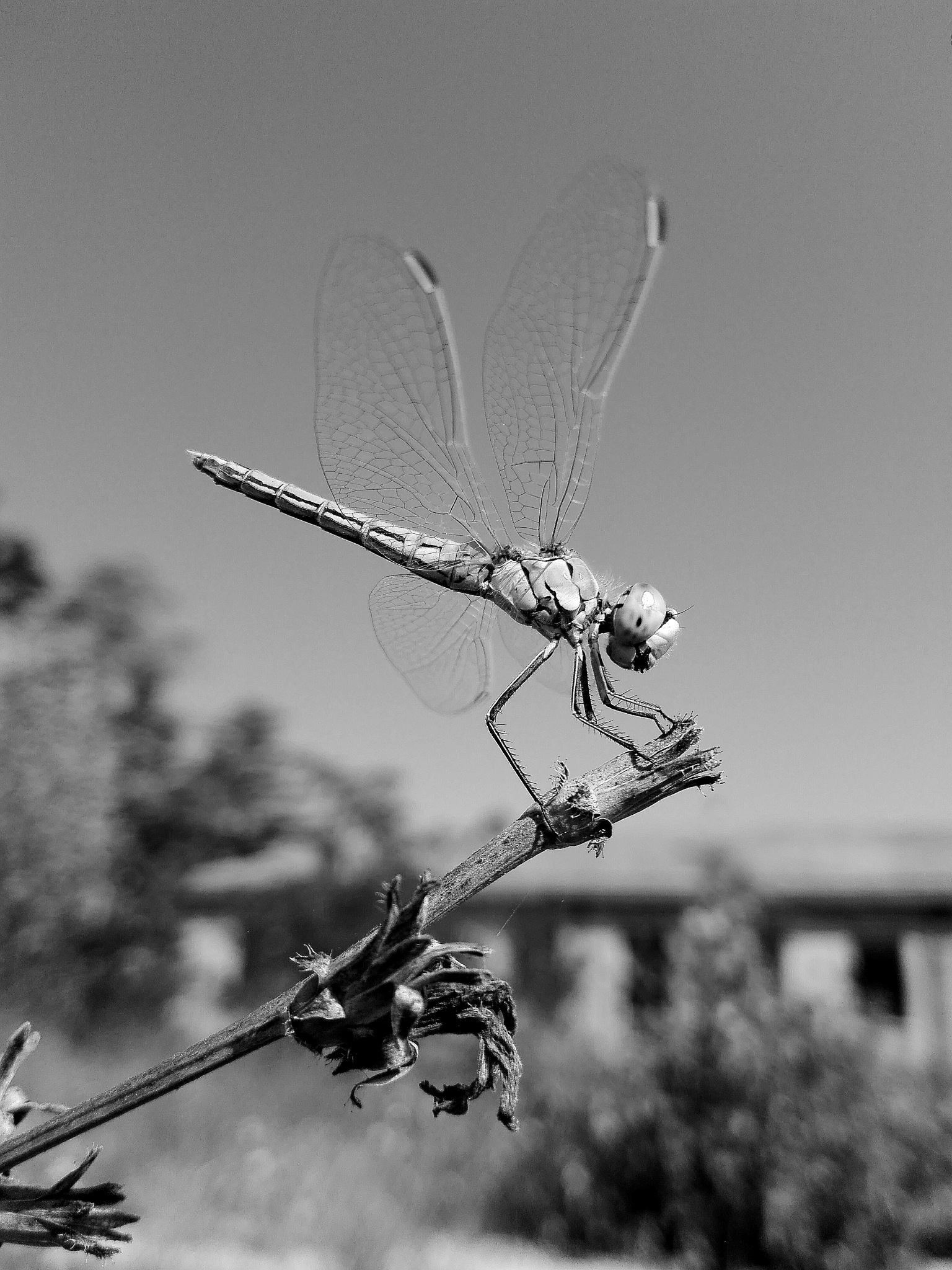 young dragonfly in black and white by  Gaelle Le Meur