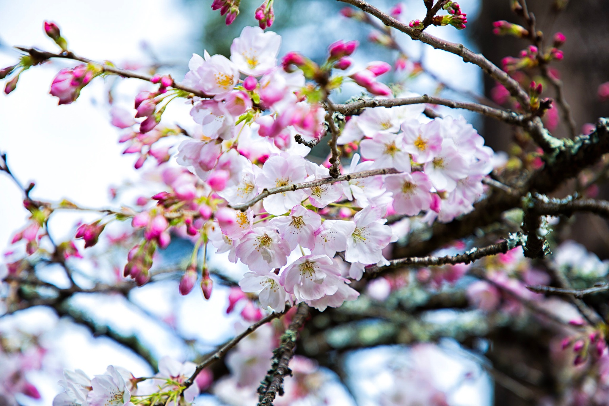 Cherry Blossoms  by what_i_c_studio