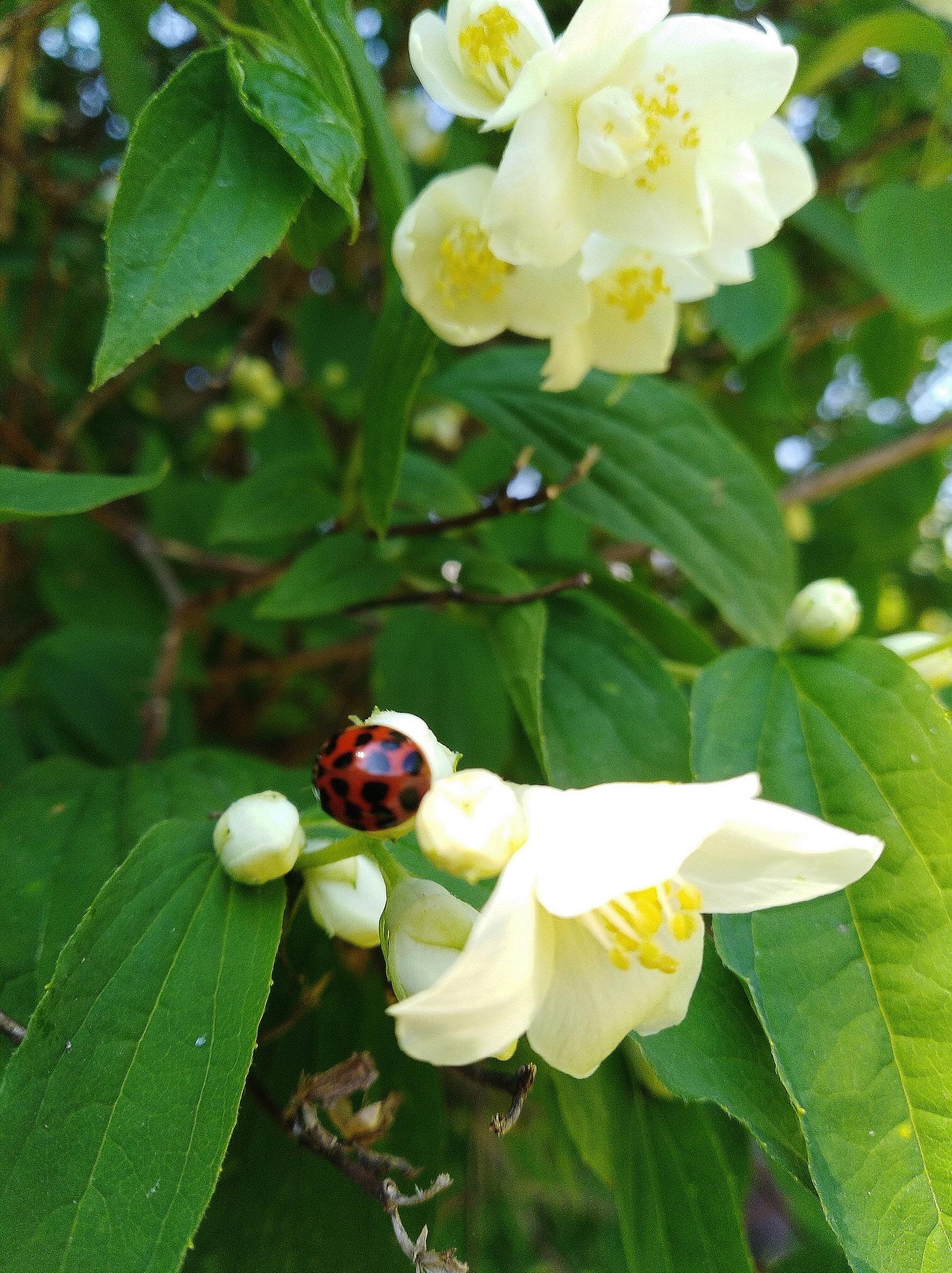 Ladybird  by Paulina