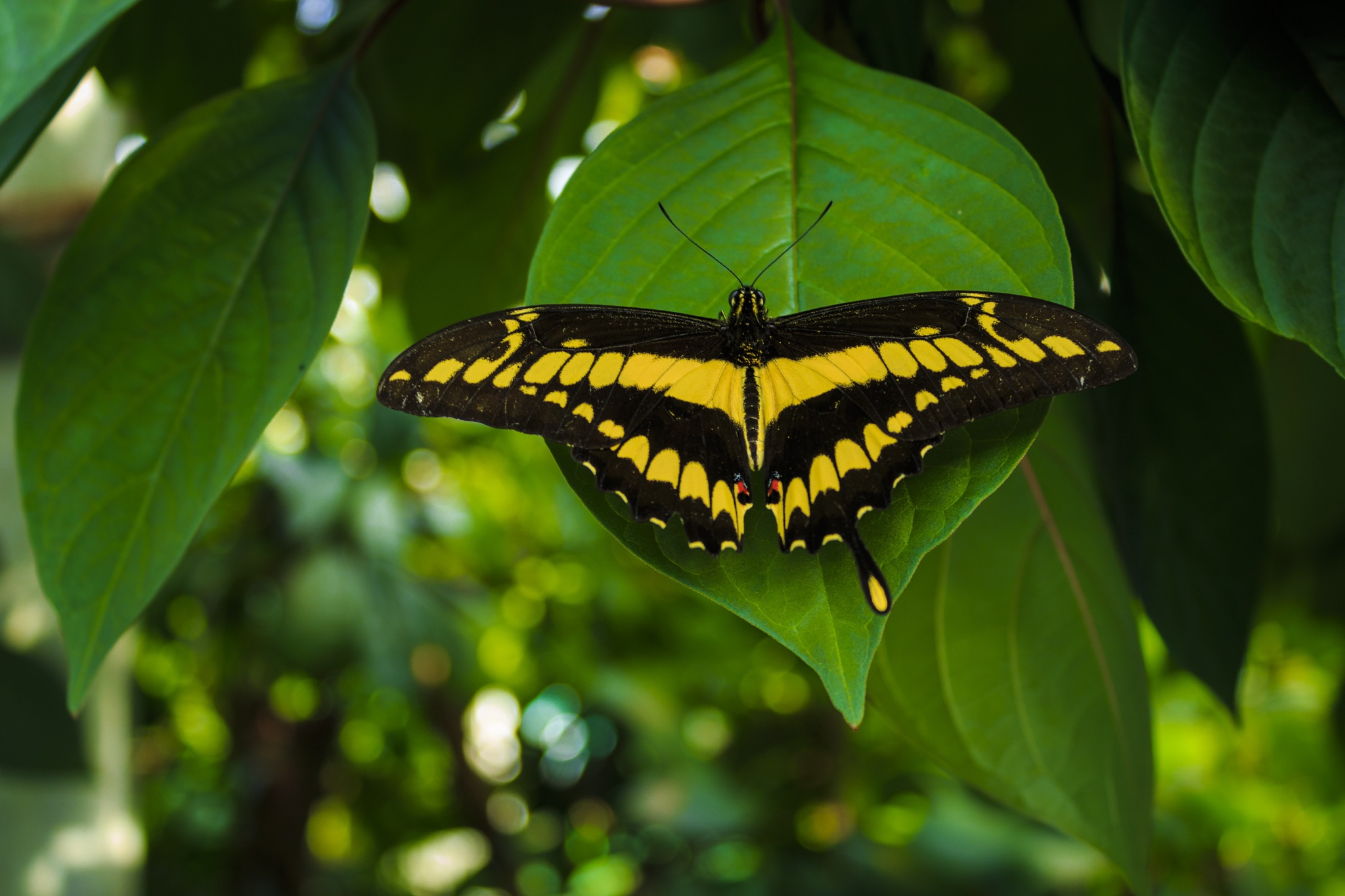 butterfly by TommyR