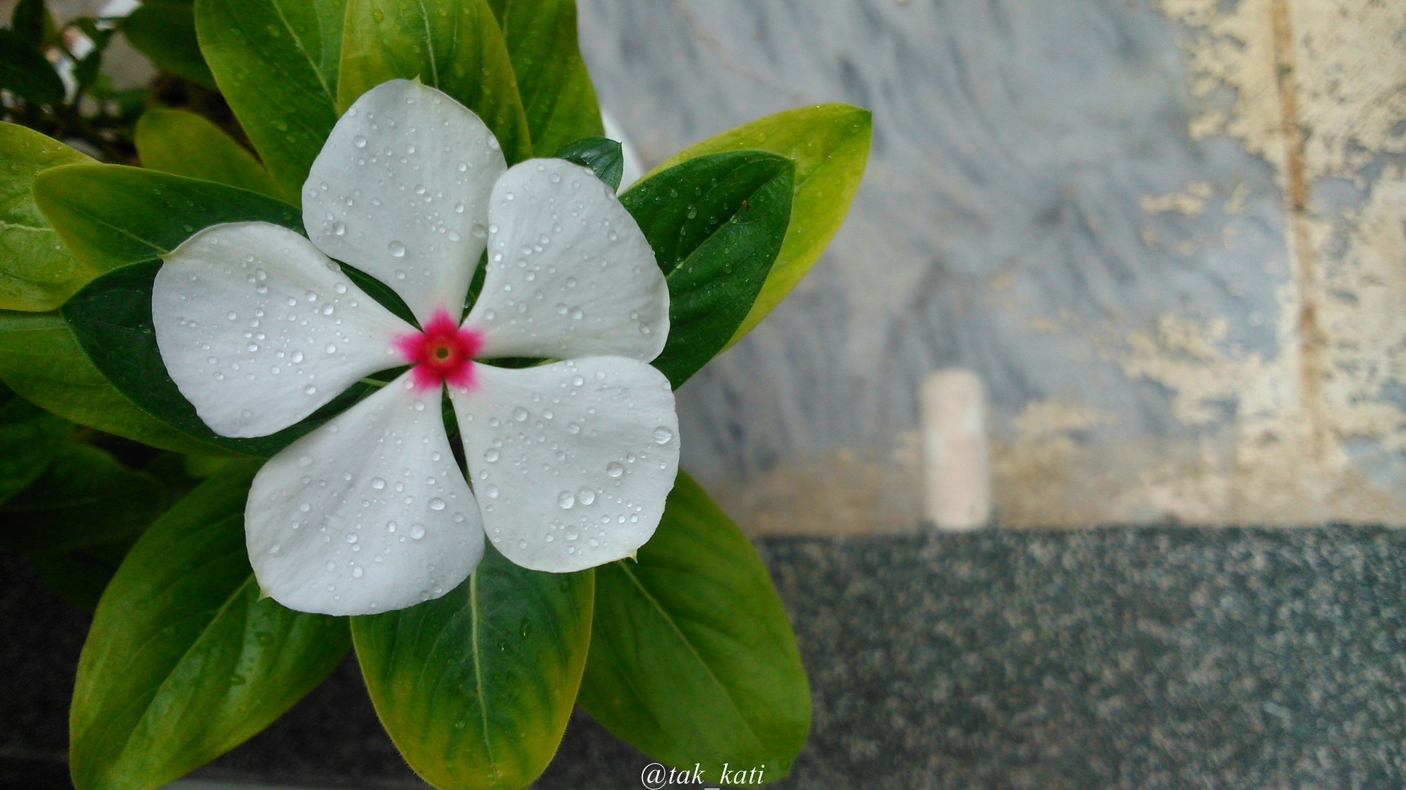 flower under rain by tak_kati