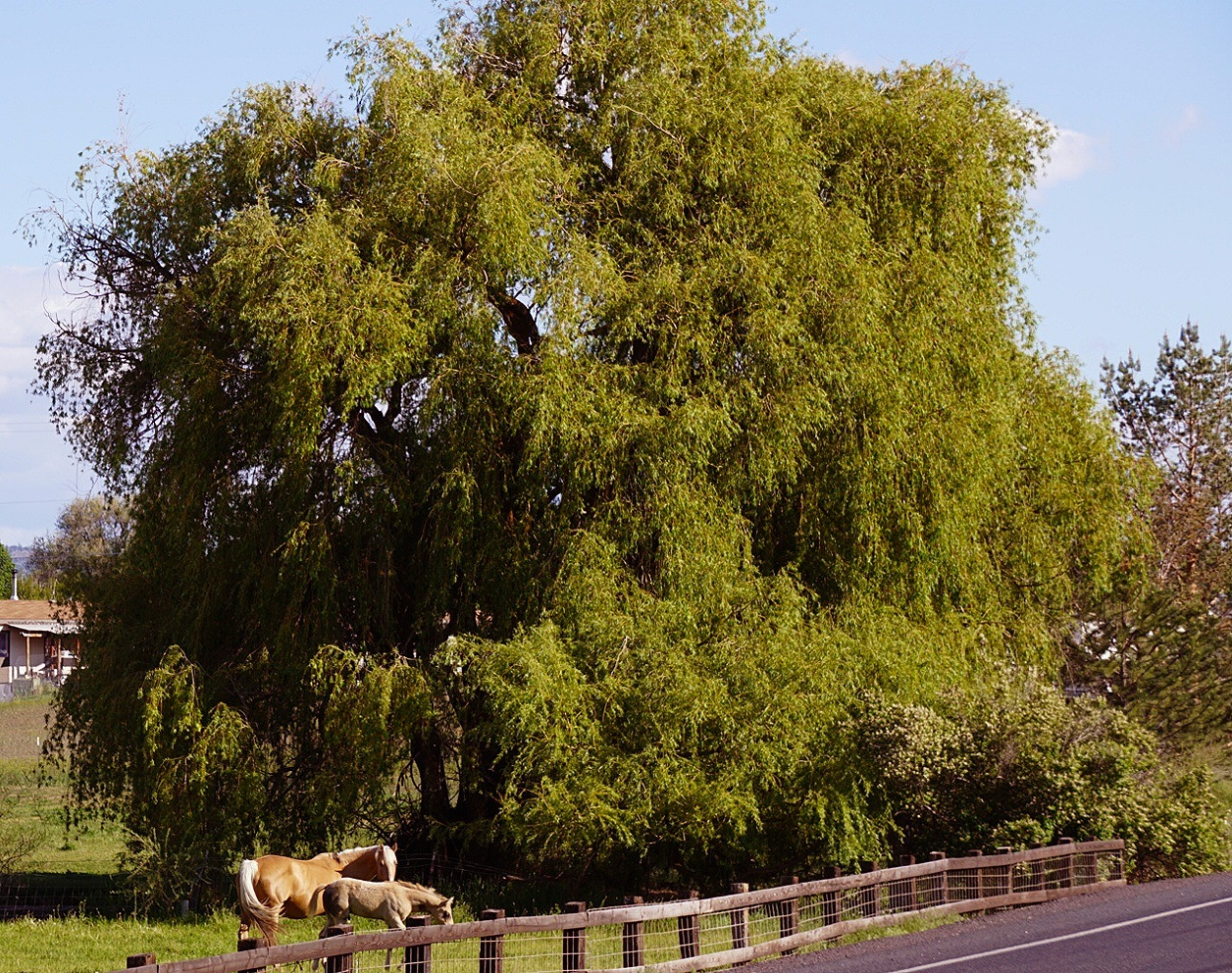 Willow and horses by SteveFTognoli