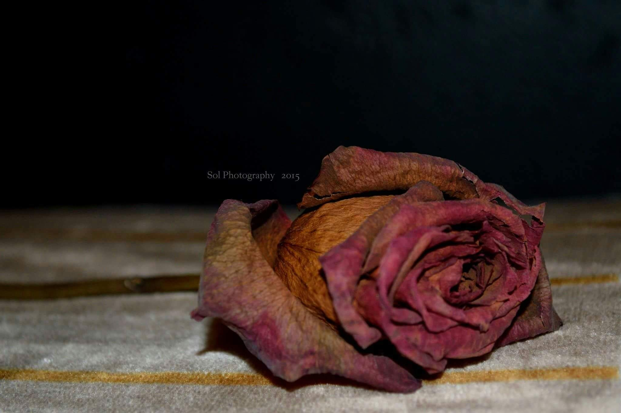 Rose  by sol