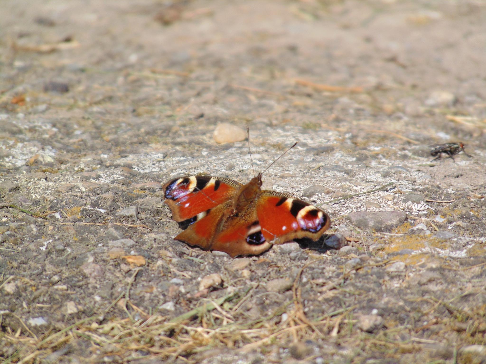 Butterfly by Hilco Hoogendam