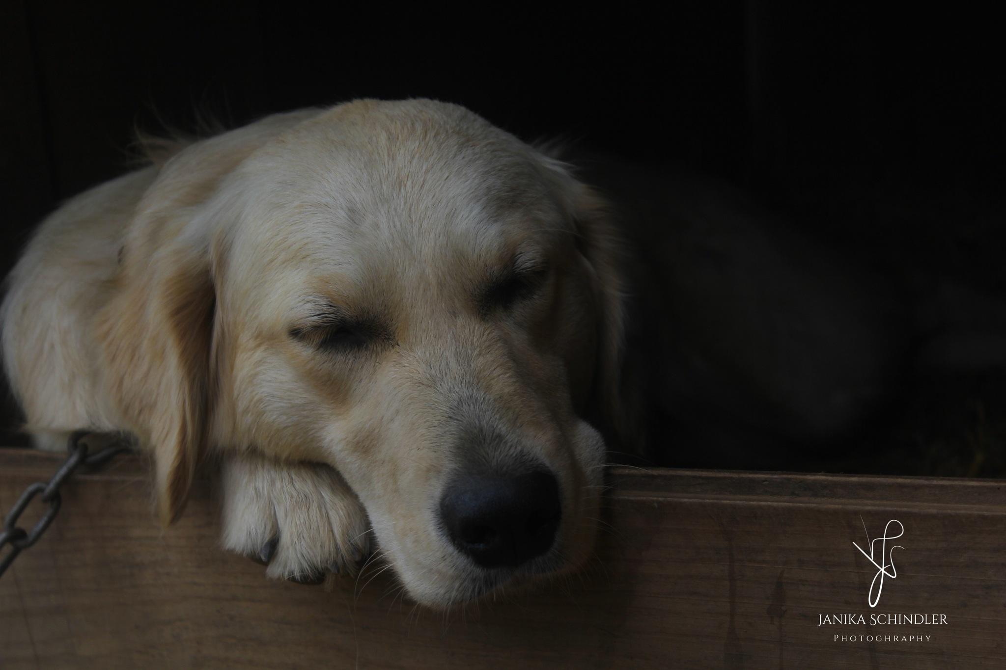 My sisters dog sleeping  by Janika Schindler