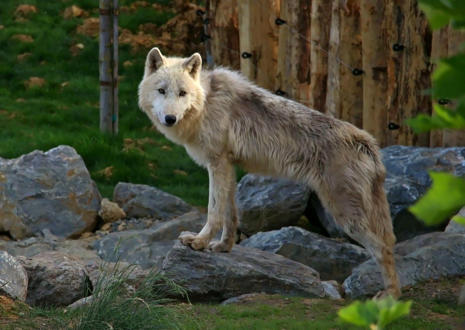 Le loup by Pepito micolasol