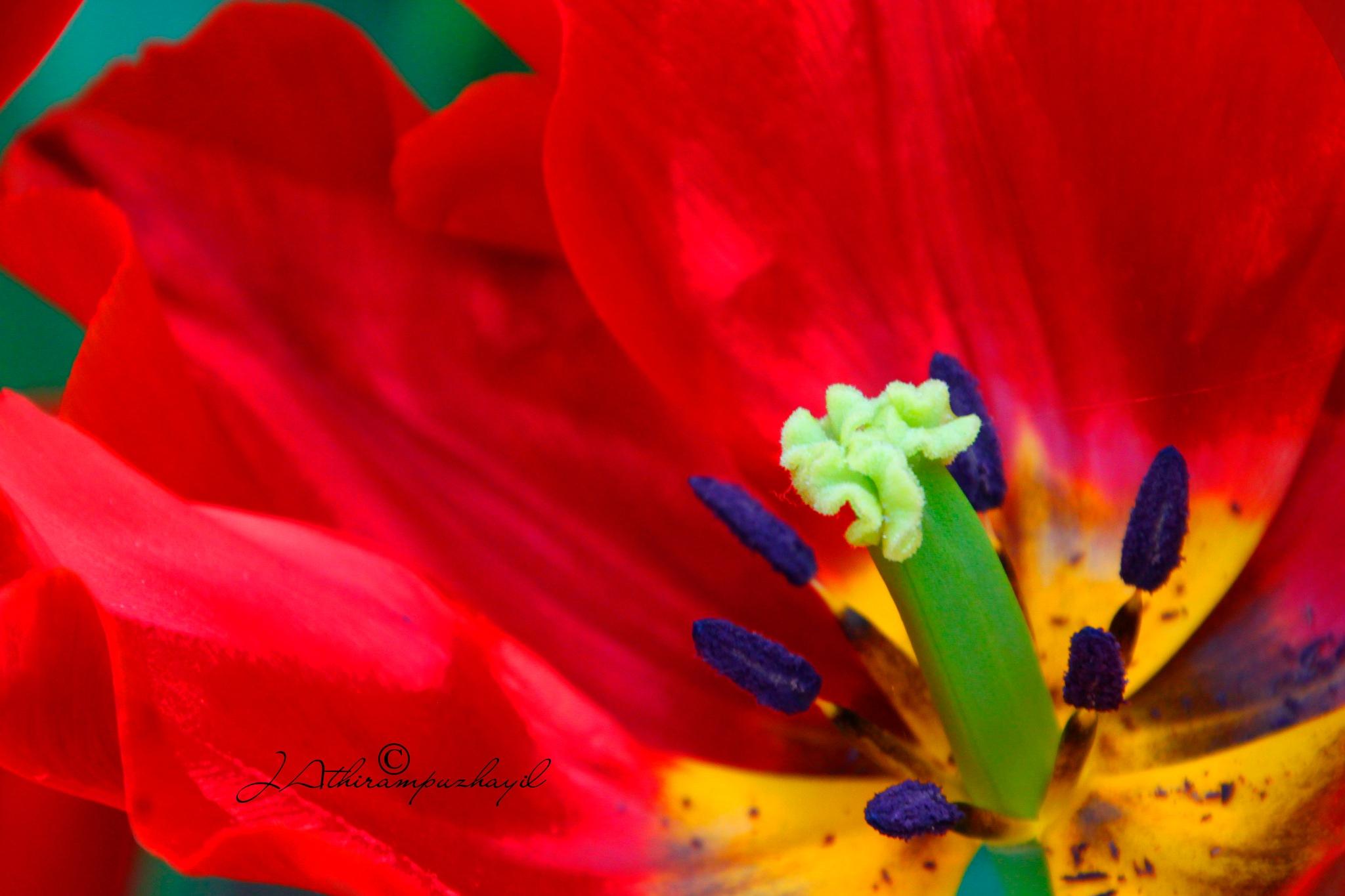 Flower  by JoAthir Photos