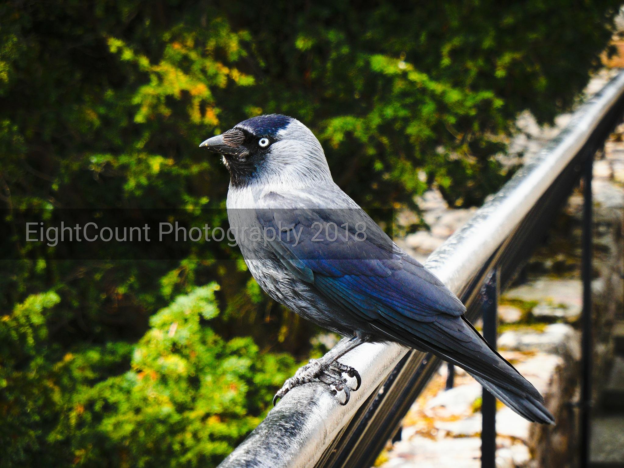 Blue Bird by EightCount Photography