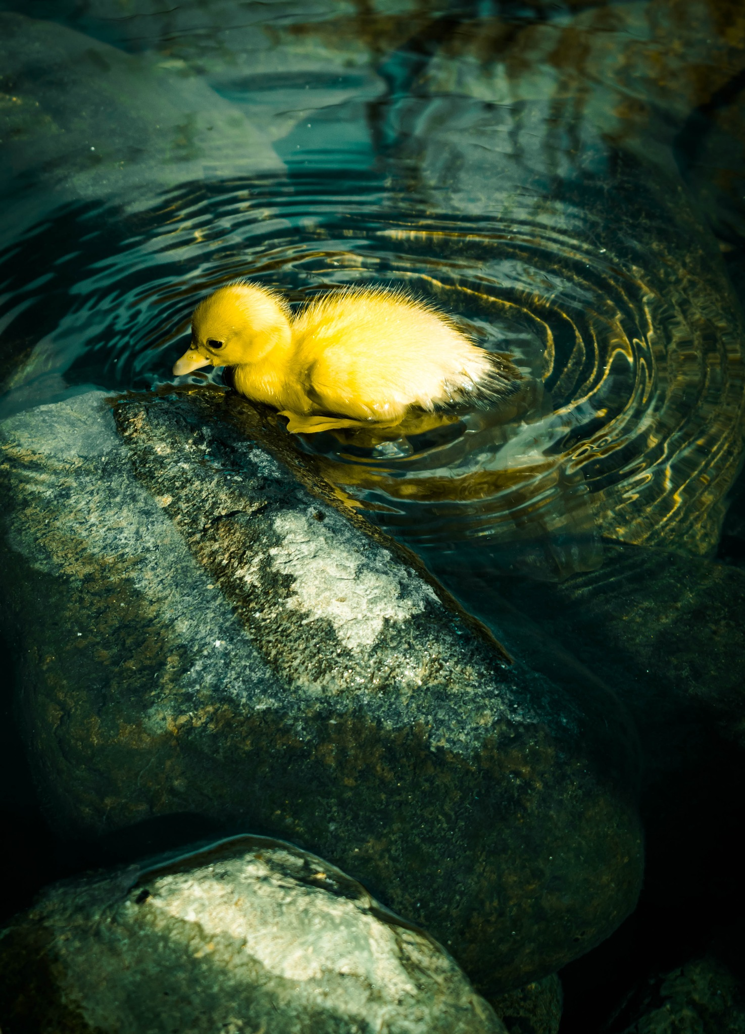 duck:))) by Daniel Pavel