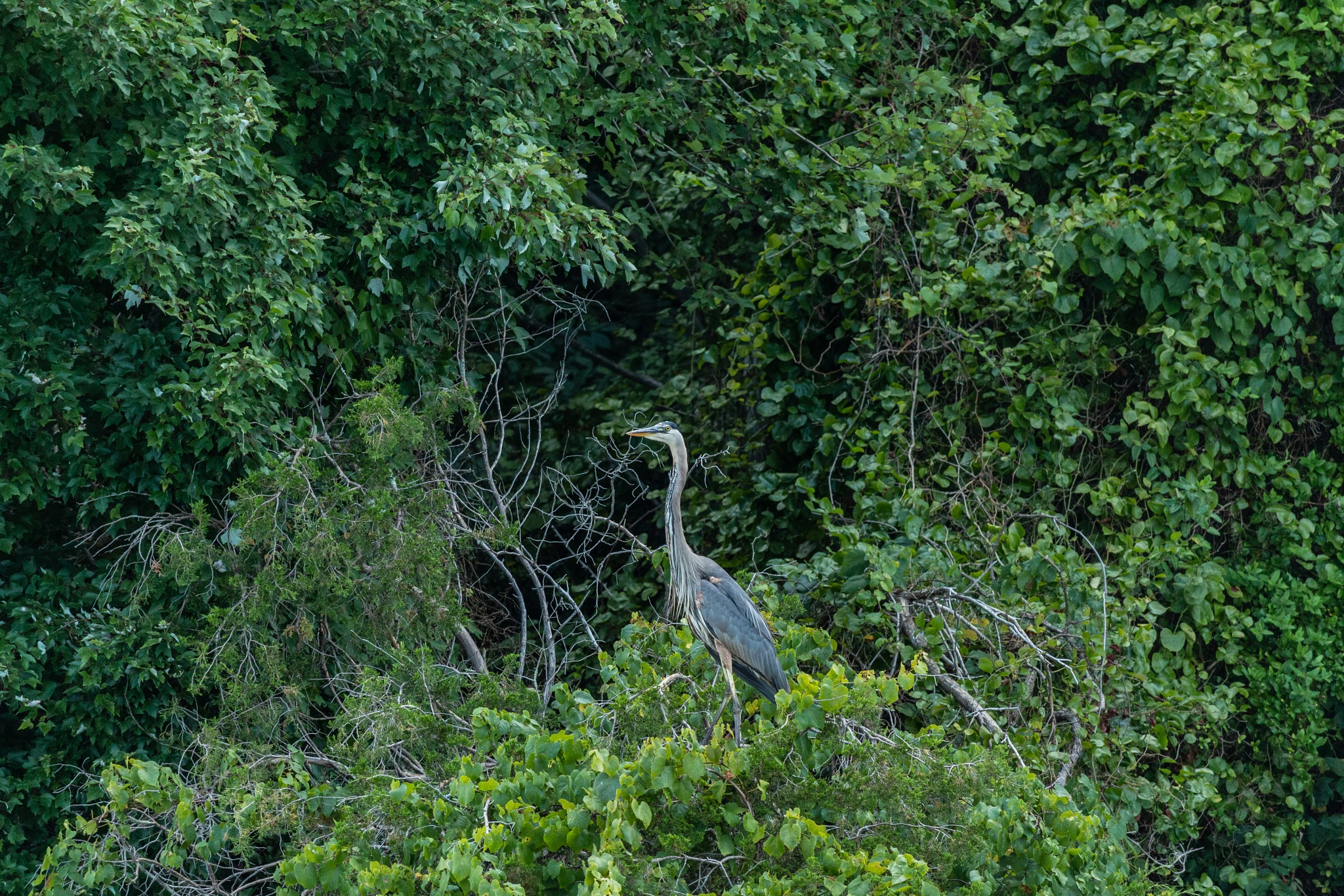 Great Blue Heron by Cindy Fetzer