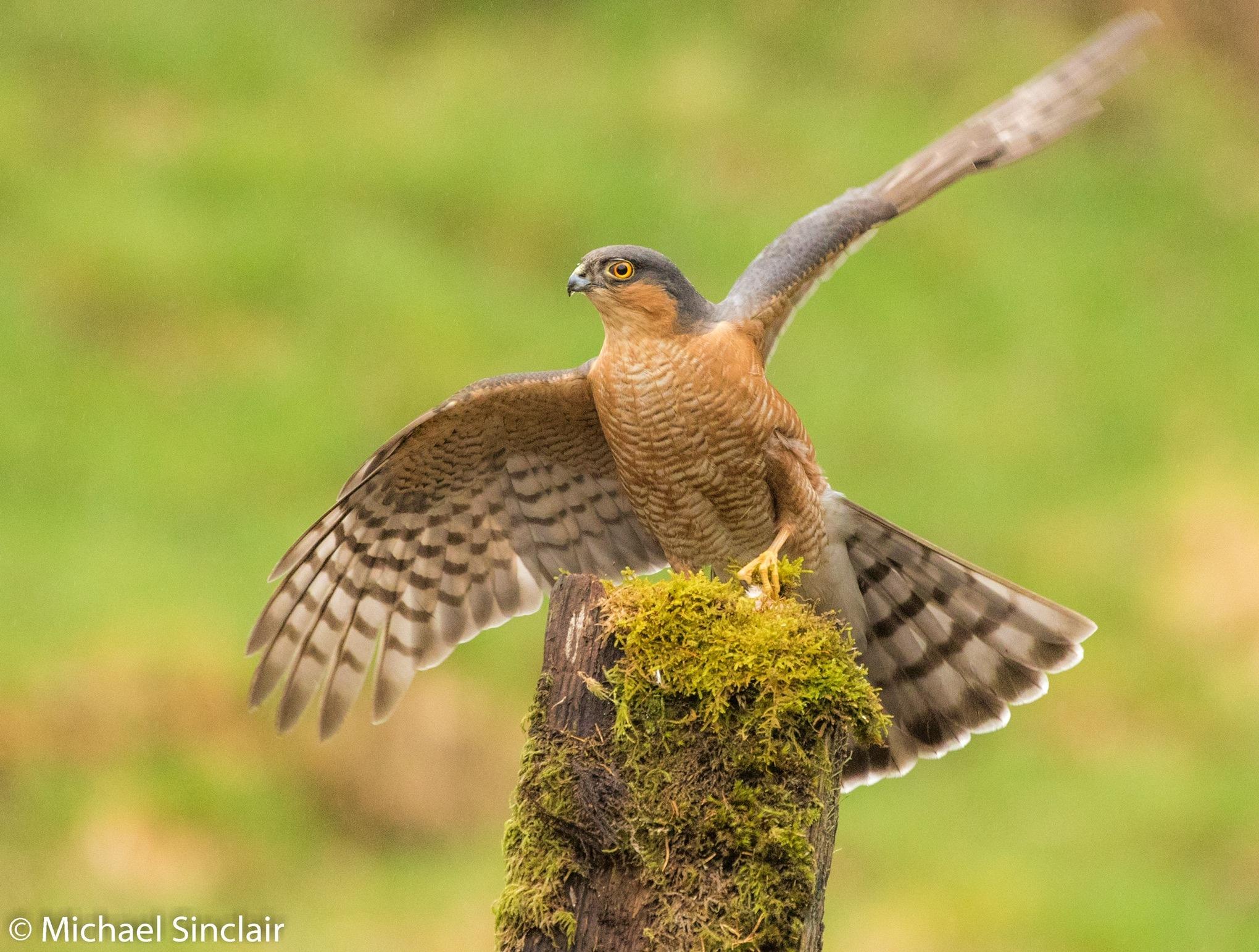 Sparrowhawk (male) by Michael Sinclair