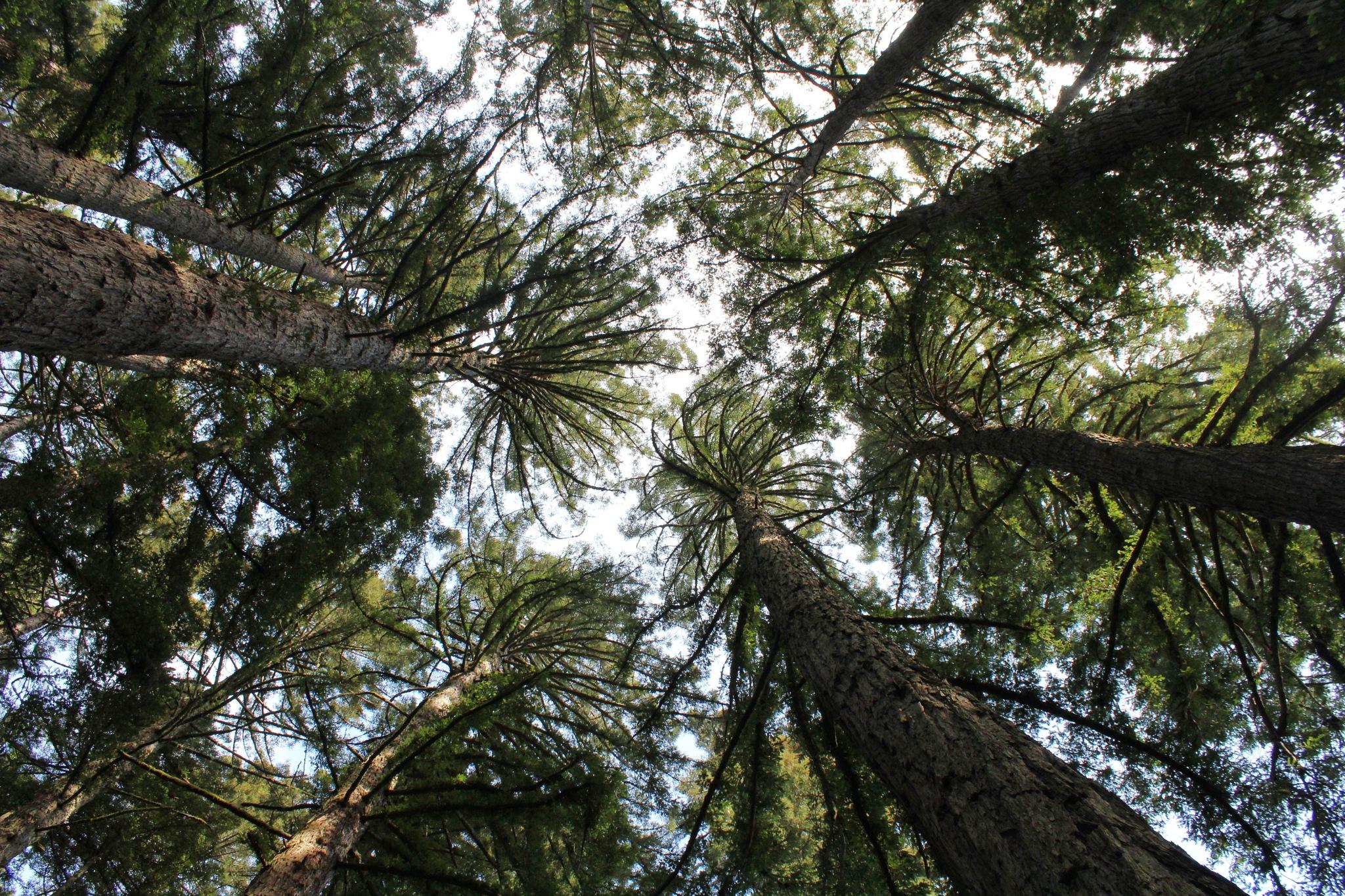 Muir Woods by Kratika Swami