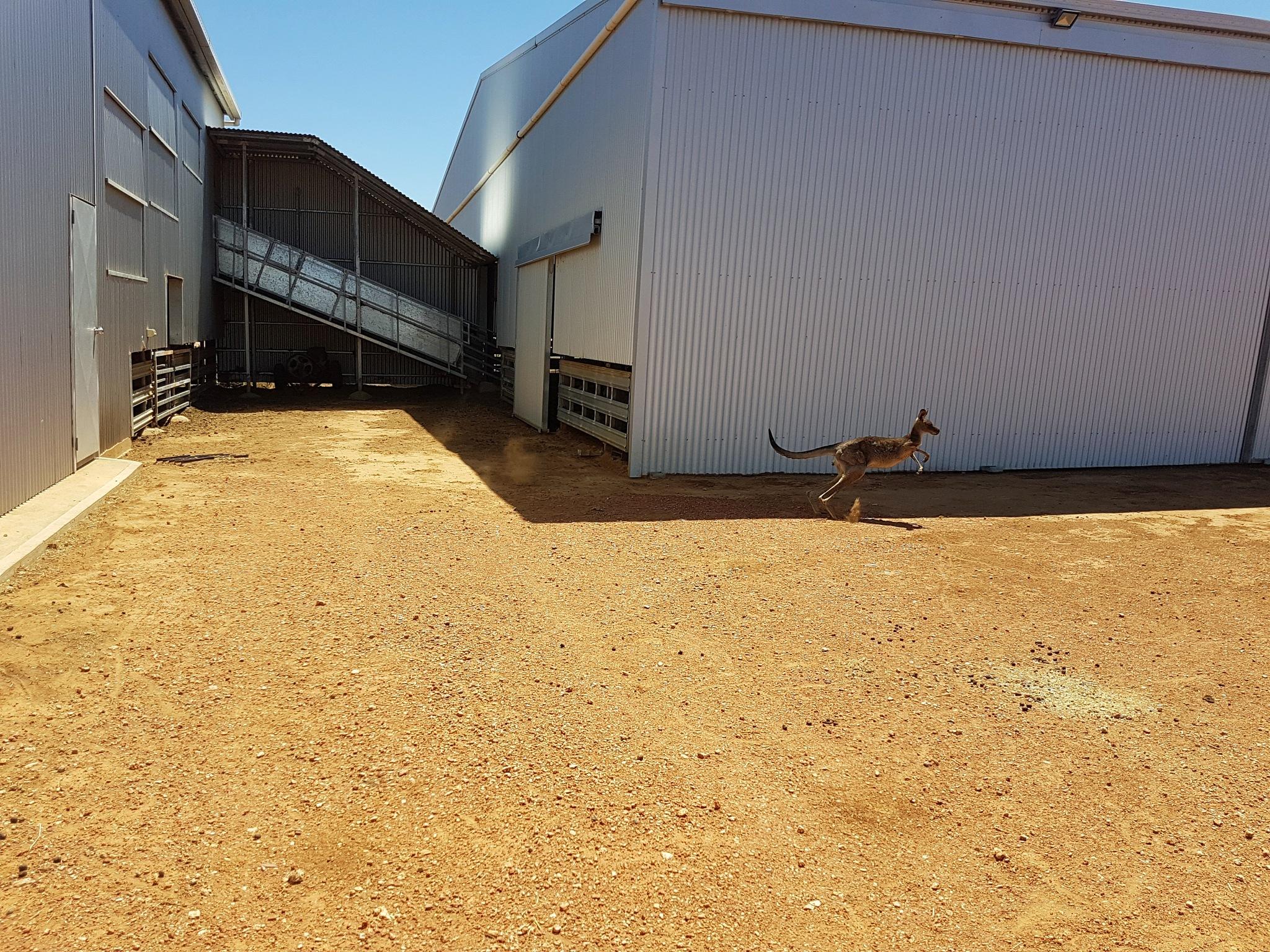 Photo in Animal #outback #australia #kangaroo