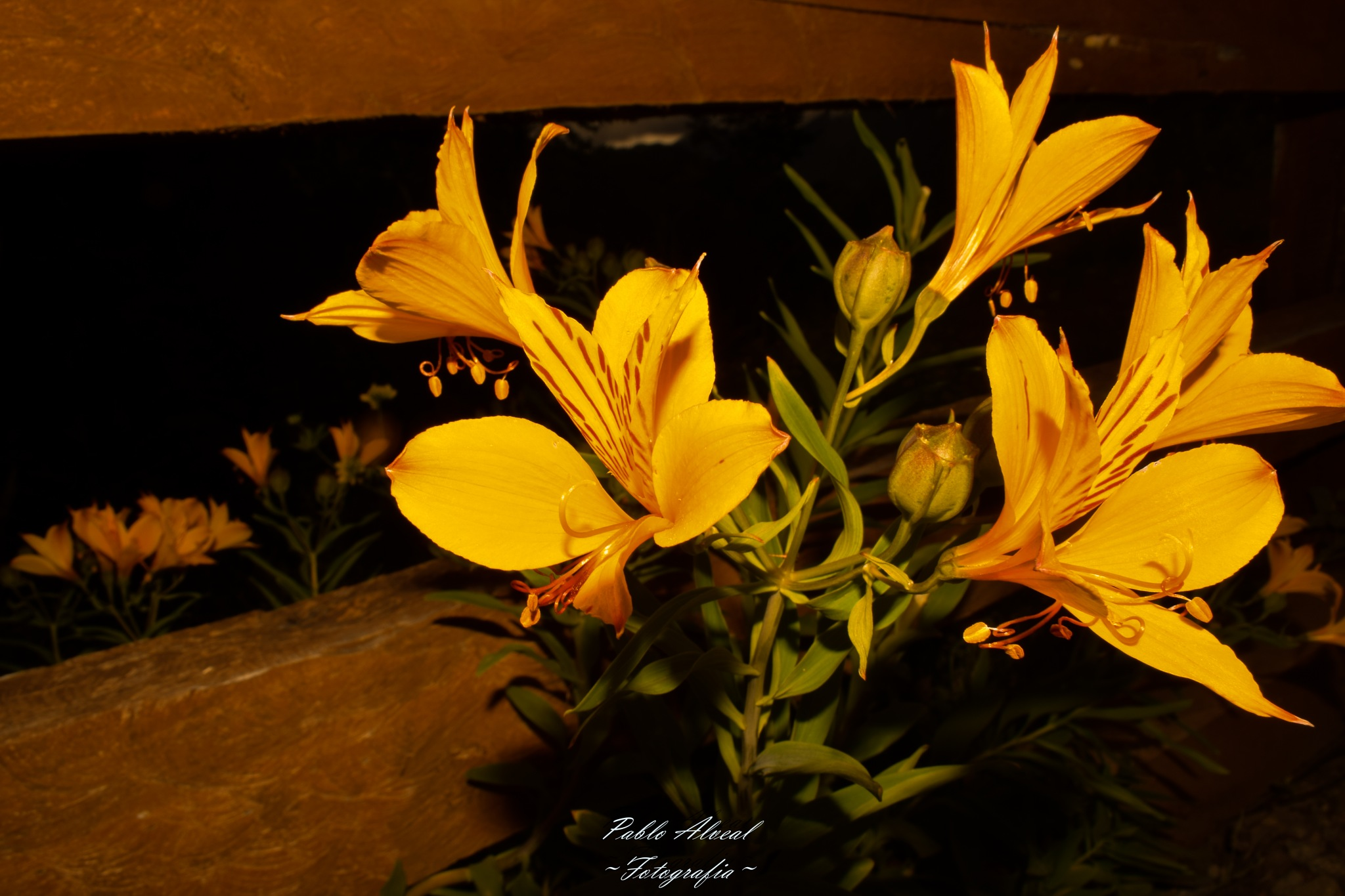Yelow Flower by Pablo Abner Isaac Alveal