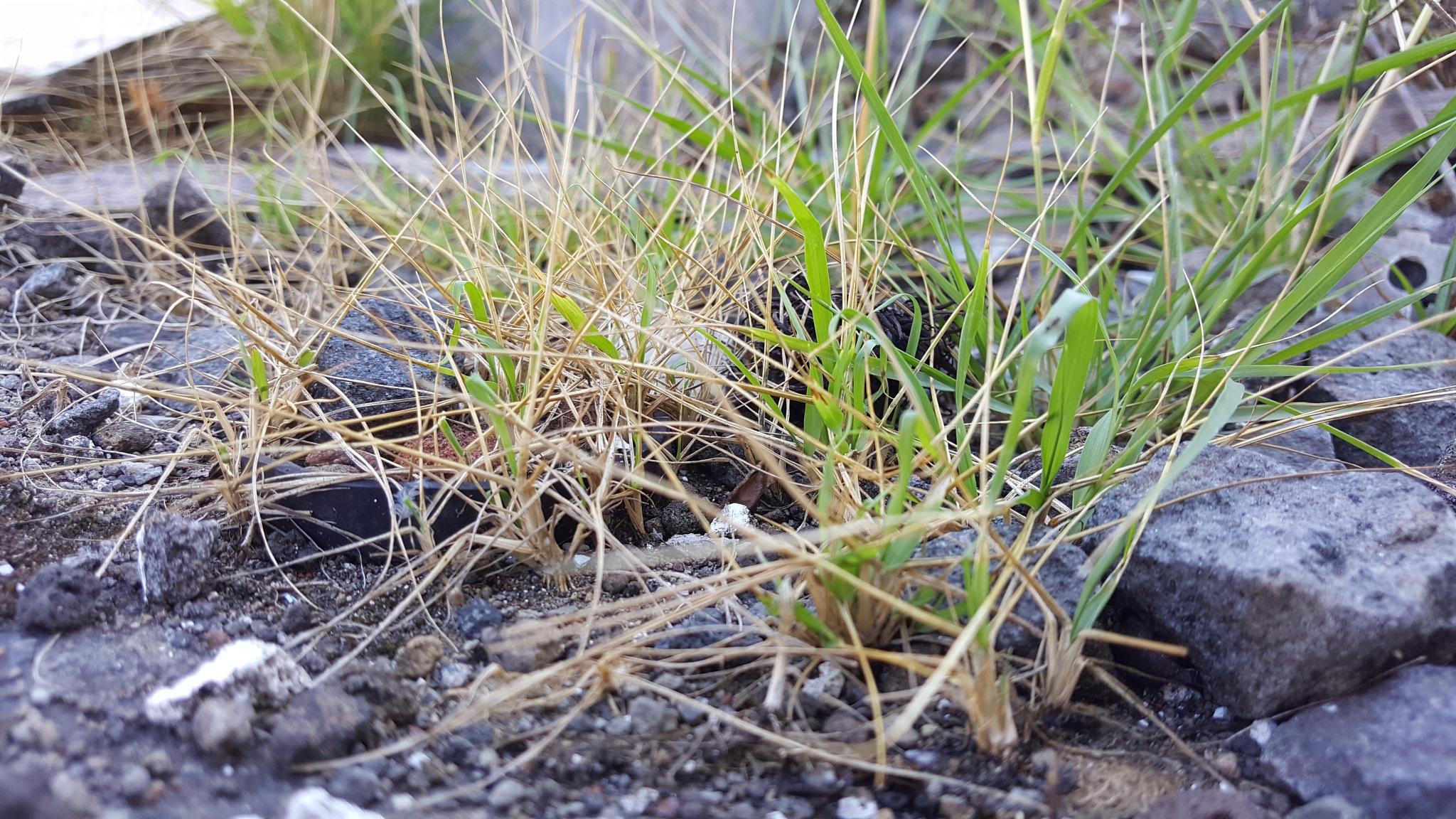 Rumput Gersang by Dedi Mukhlas