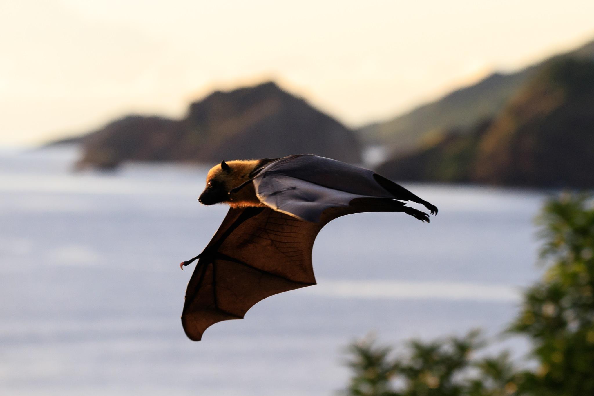 Roussette de Mayotte by Marco  Mayotte
