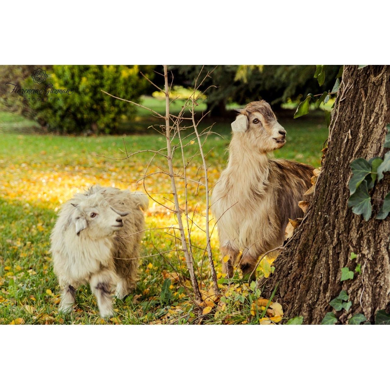 Goats by Florencia Guzman