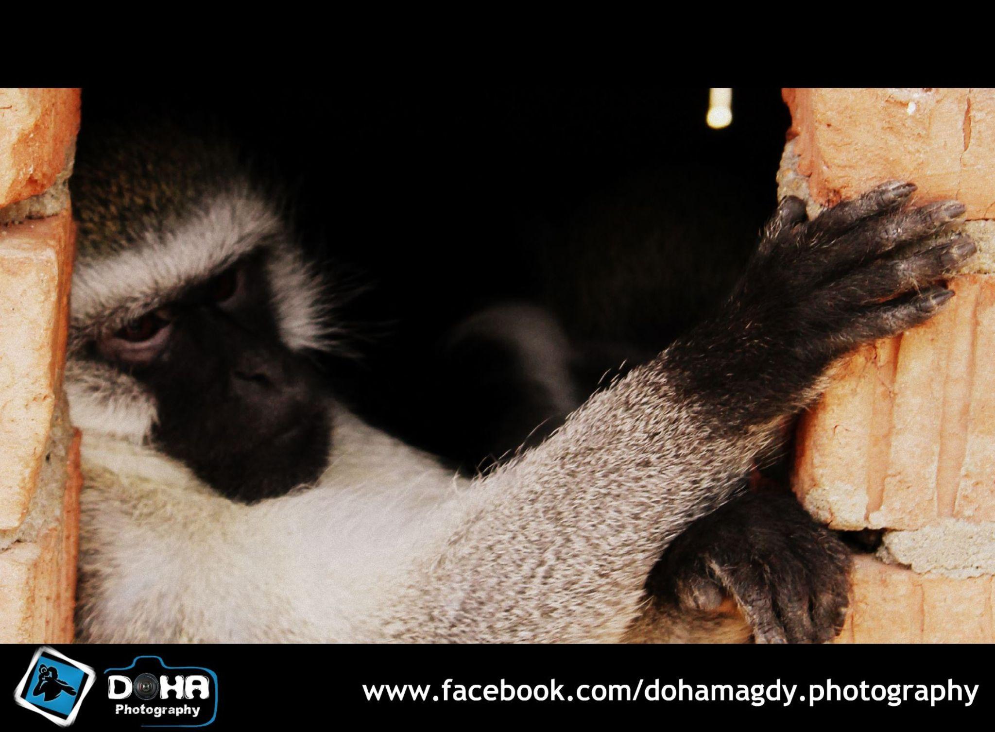 Monkey by Doha Magdy